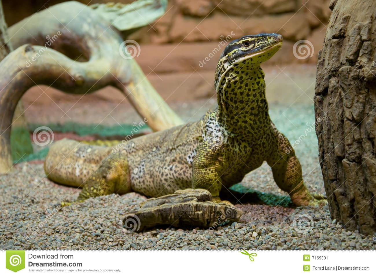 Argus monitor lizard watching closely Argus Monitor