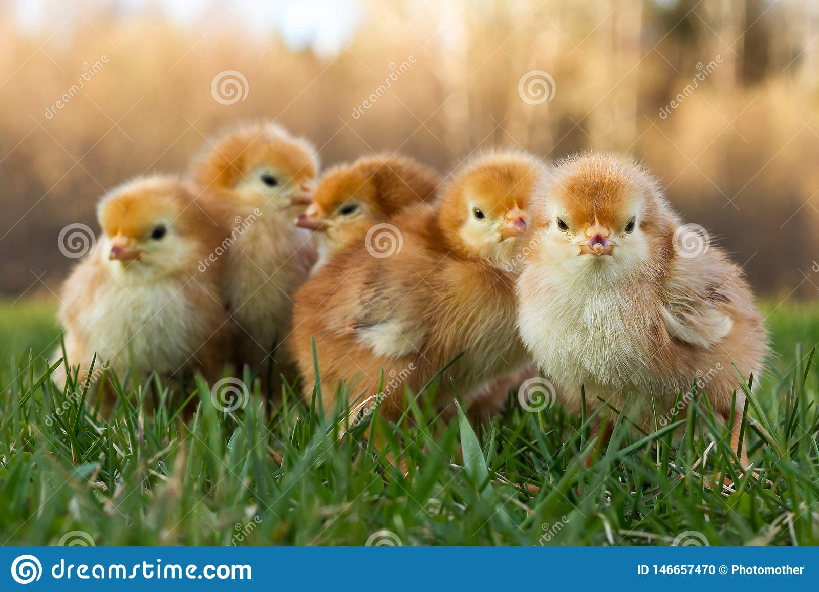 Aria aperta di cinque Rhode Island Red Chicks Huddled