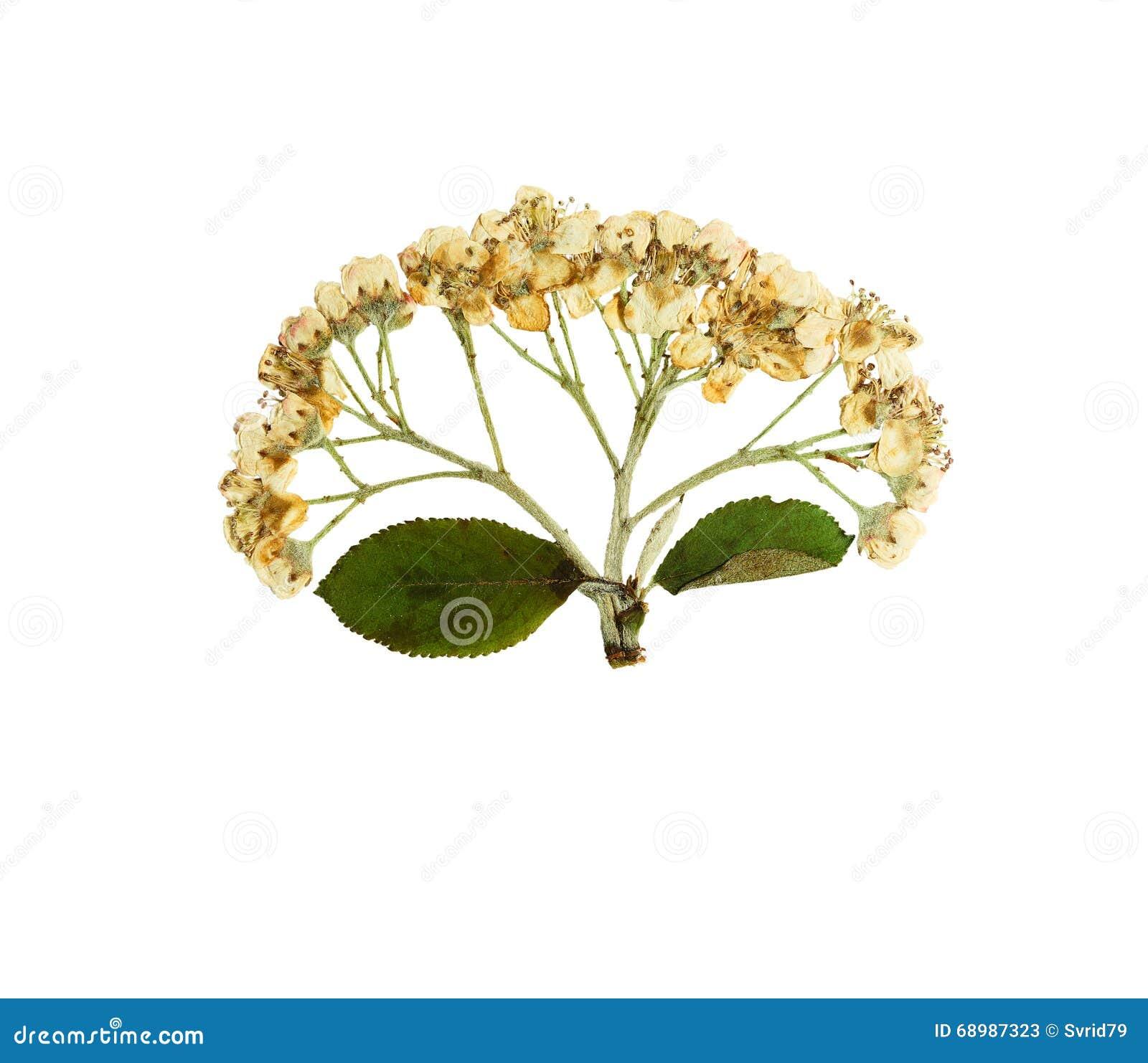 Aria del sorbus de la flor o rotundifolia presionada y secada del serbal