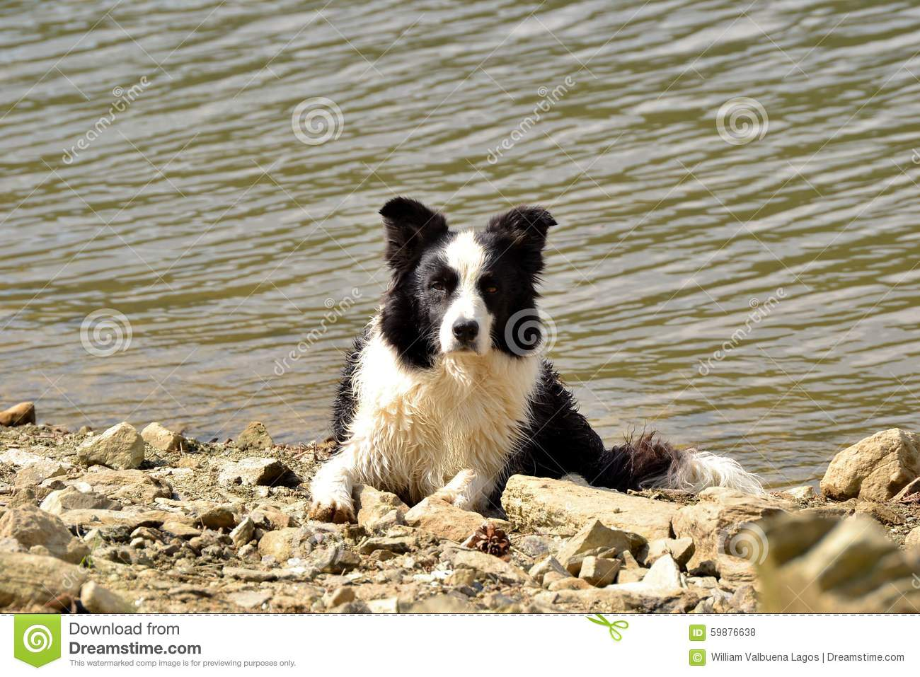 Border collie on lake