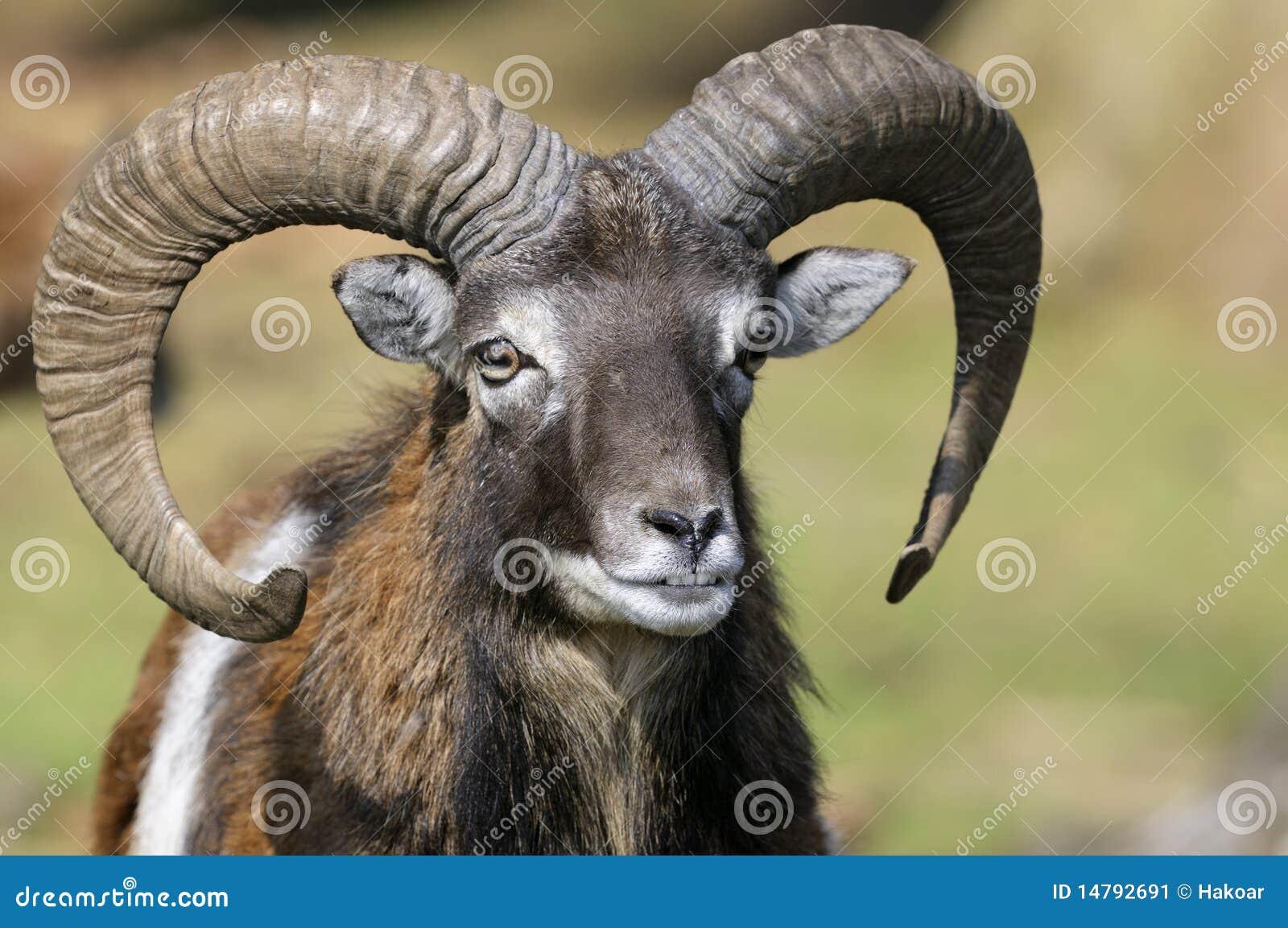 Aries muflonu ovis