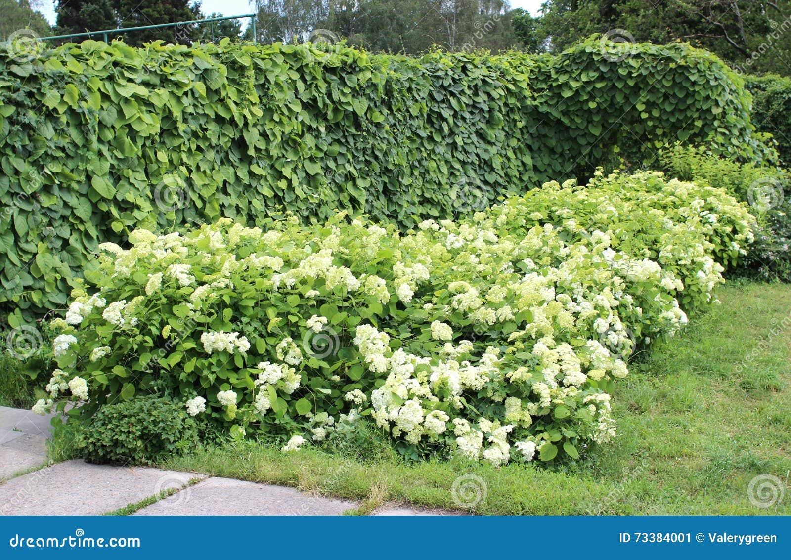 Aristolochia macrophylla oder Rohr- und Hortensiebüsche Dutchman's im Sommer arbeiten im Garten