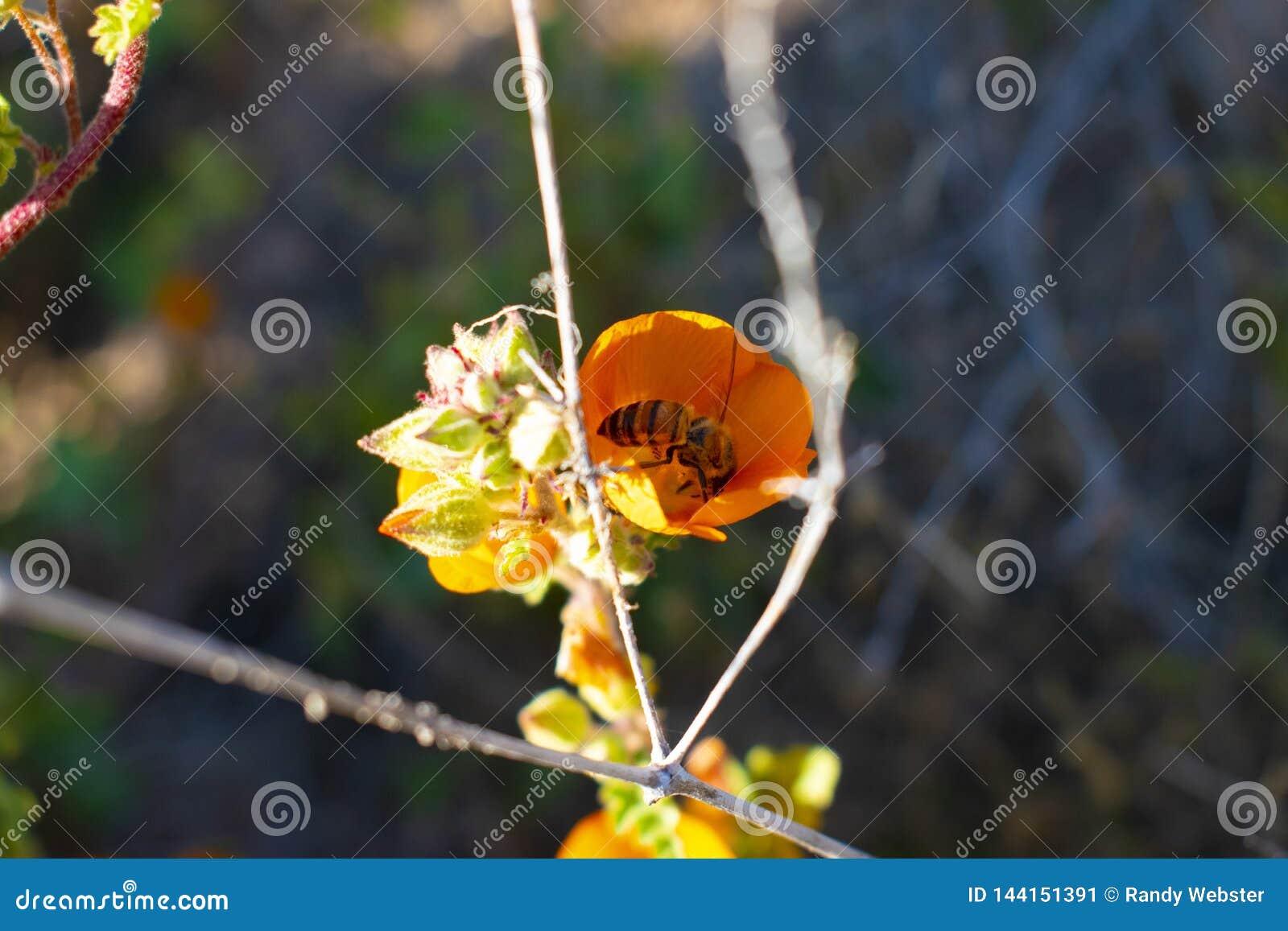 Arizona ökenblomma med ett bi
