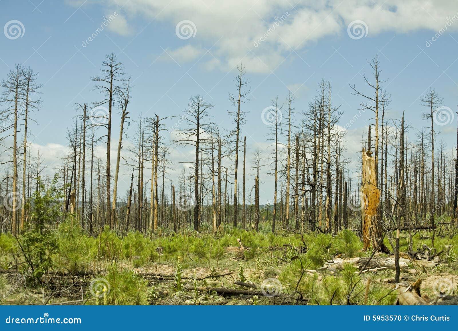 Arizona brandskog