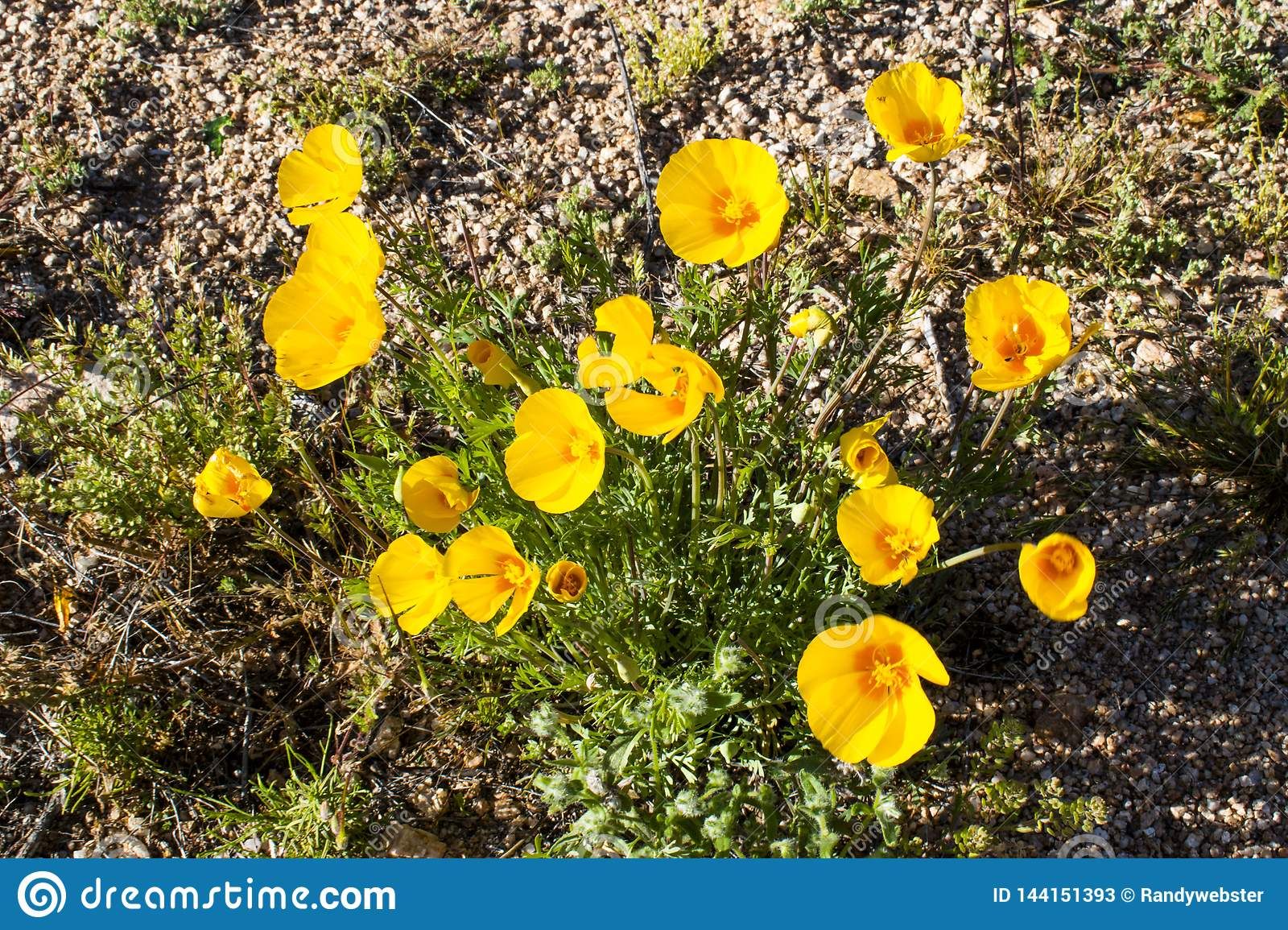 Arizona Desert Yellow Flower Stock Image Image Of Nice Orange