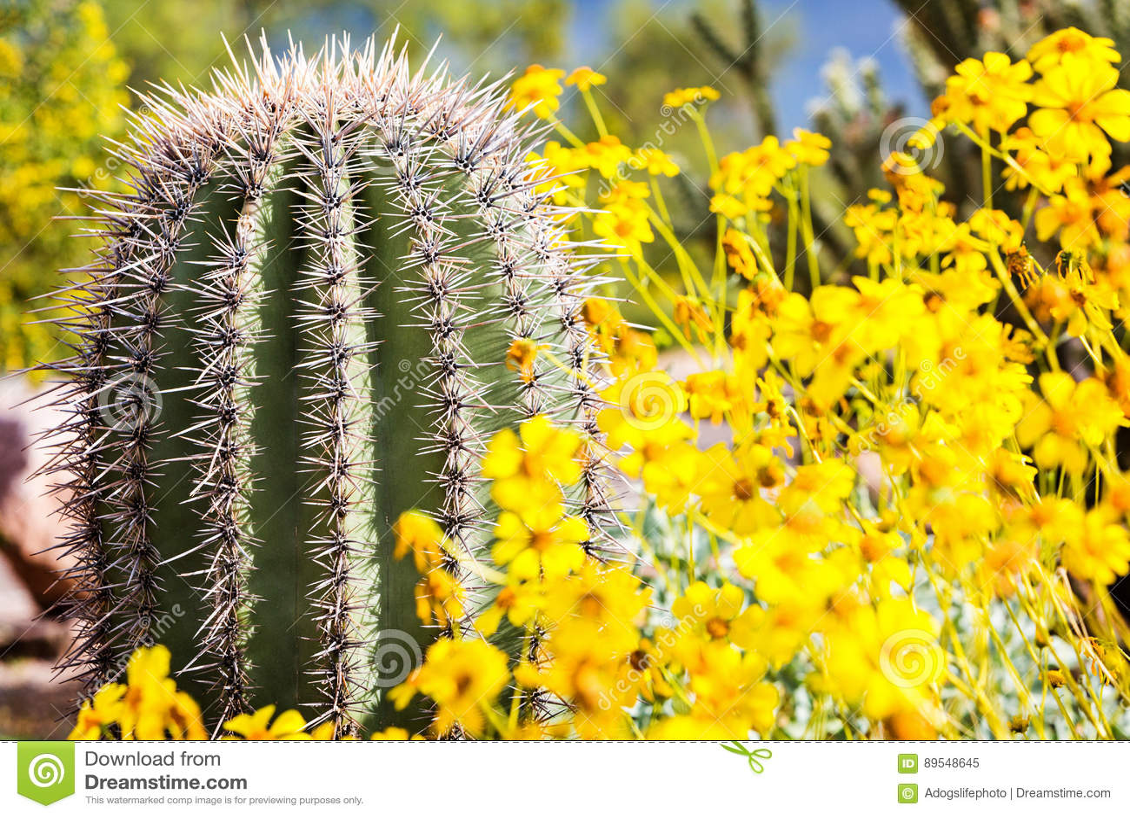 Arizona trummakaktus med vildblommor
