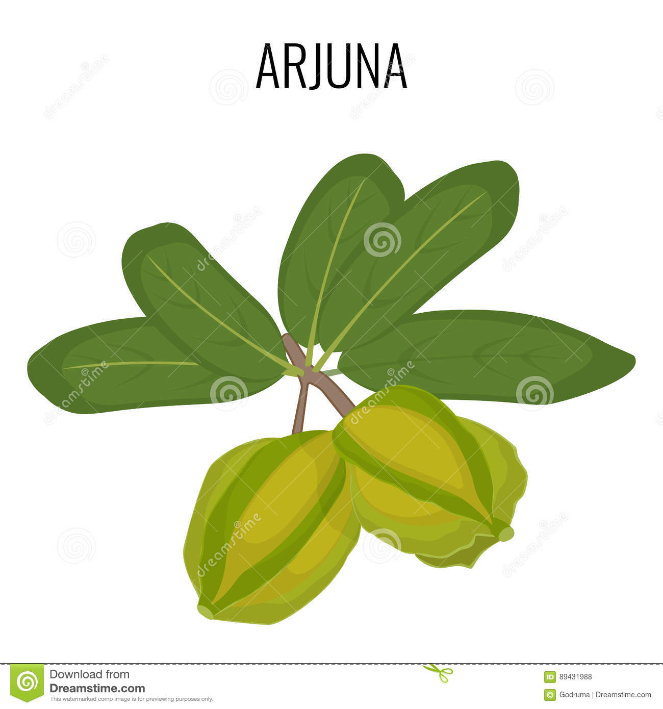 Arjuna Ayurvedic Medicinal Herb Isolated  White Marudah Vector