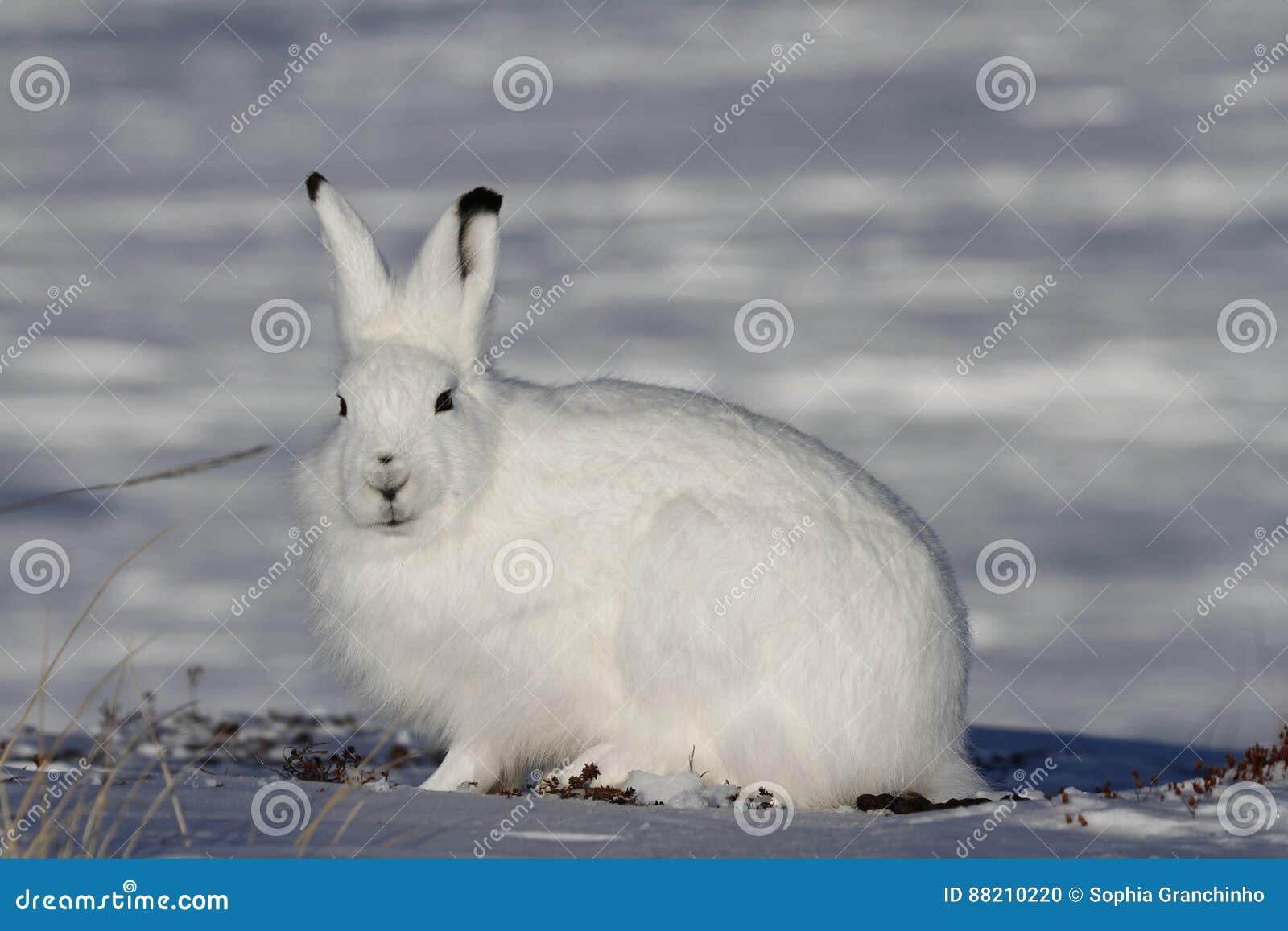Arktische Hasen, die in Richtung zur Kamera auf einer schneebedeckten Tundra anstarren