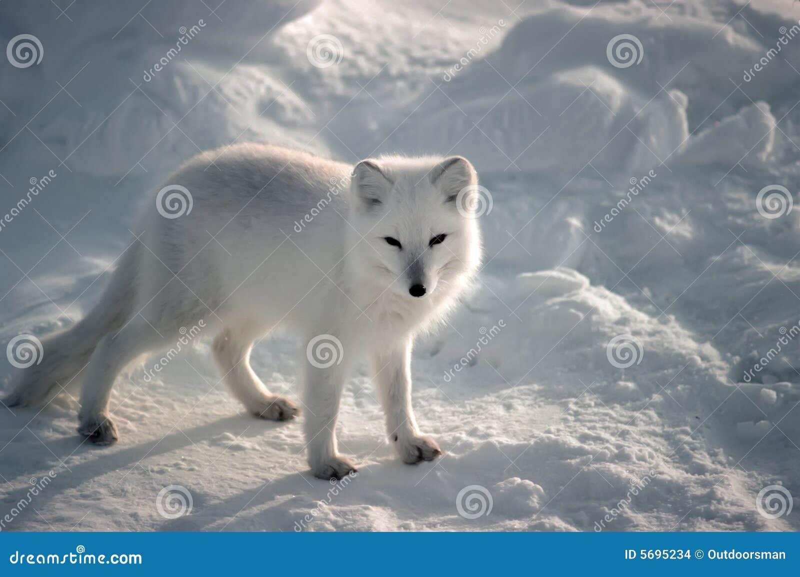 Arktisk räv