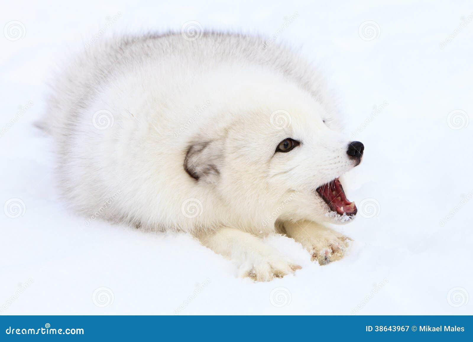 Arktycznego lisa szczekanie