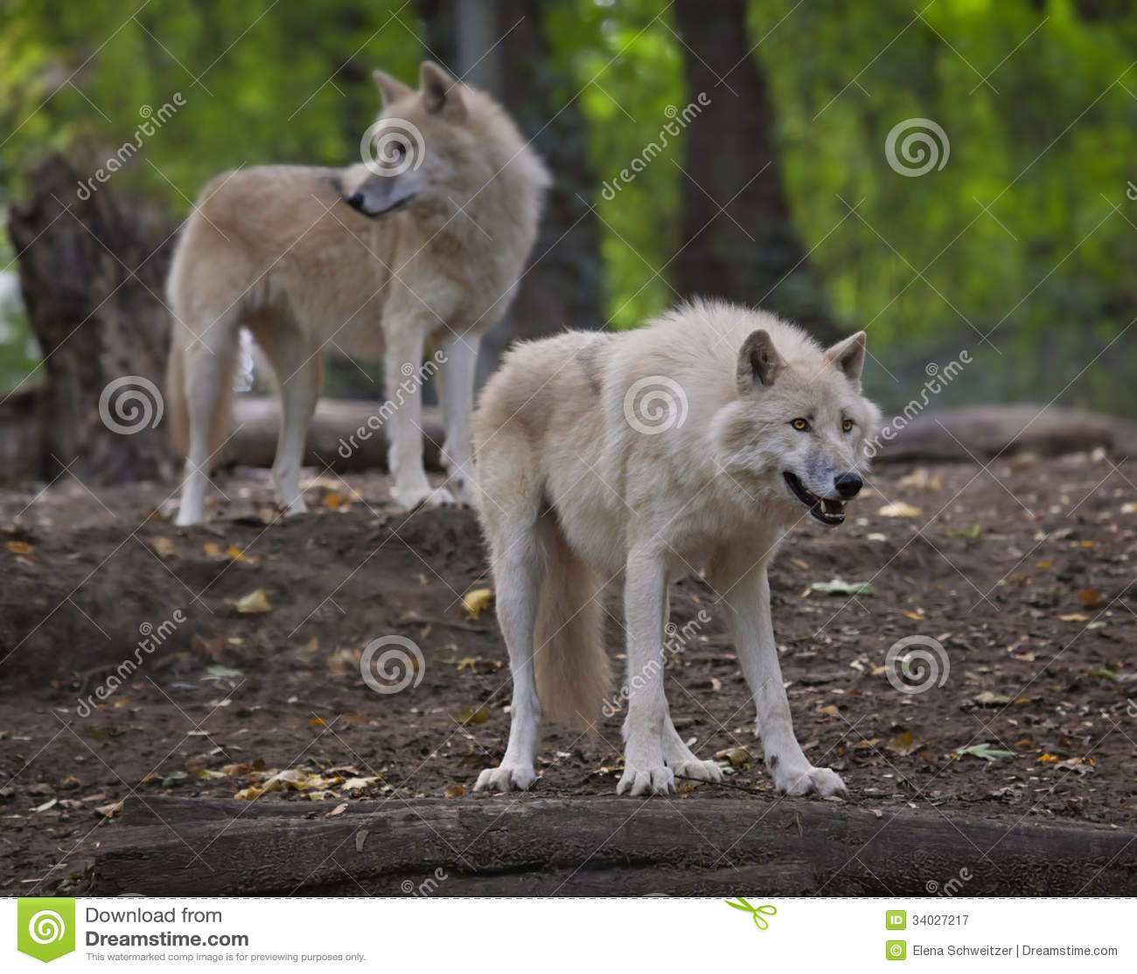 Arktyczni wilki