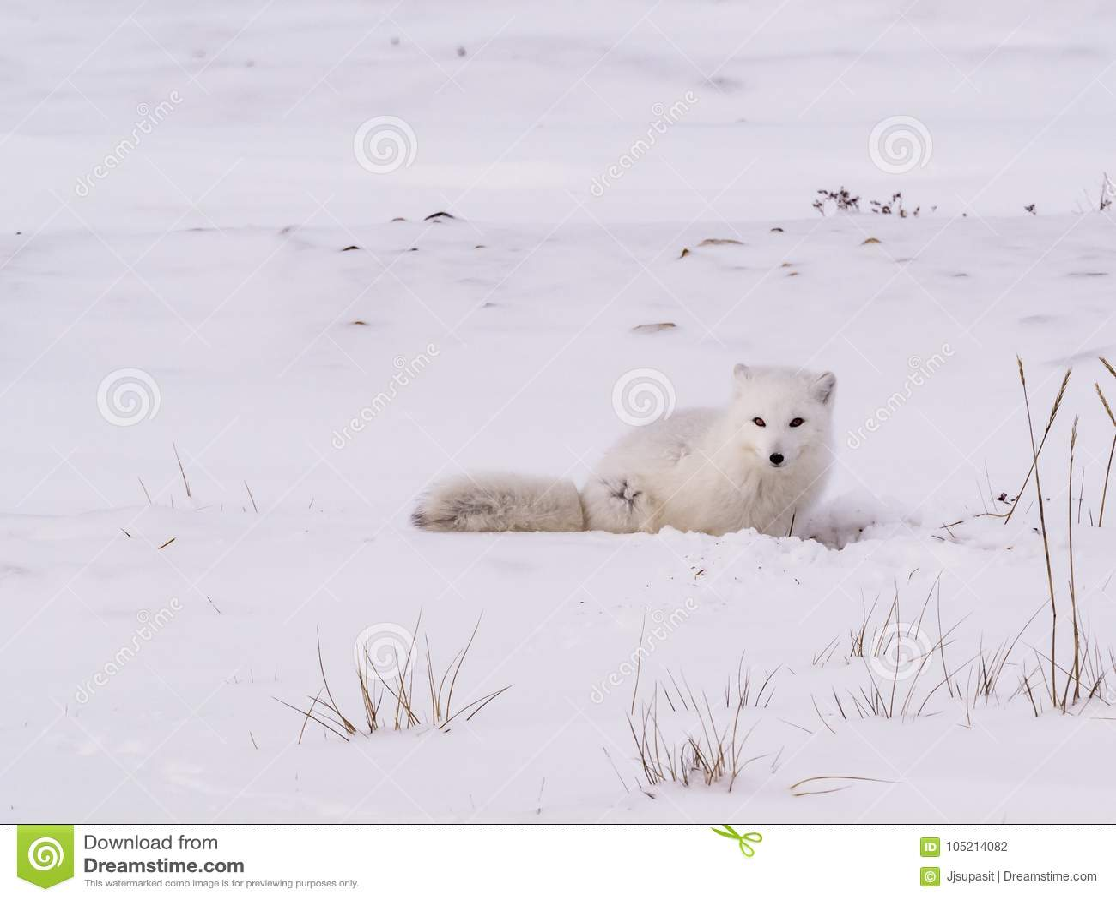 Arktyczny biegunowy lis