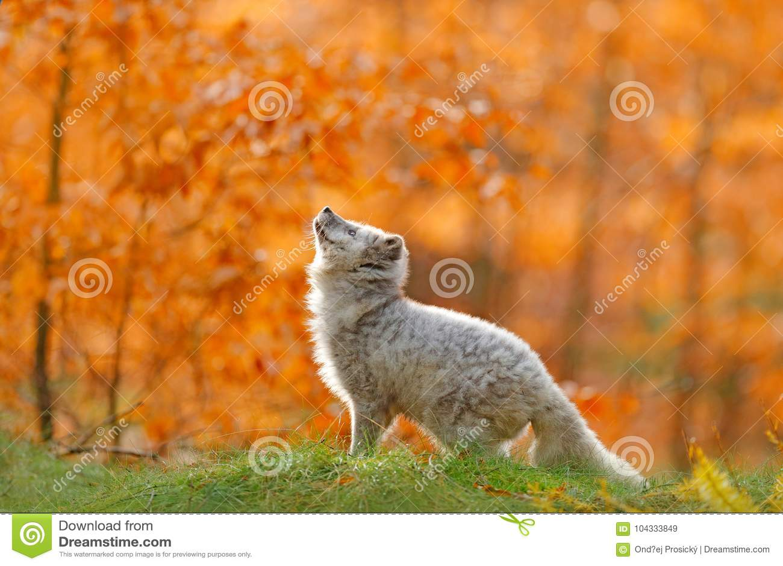 Arktyczny biegunowy lisa bieg w pomarańczowych jesień liściach Śliczny Fox, spadku lasowy Piękny zwierzę w natury siedlisku Pomar