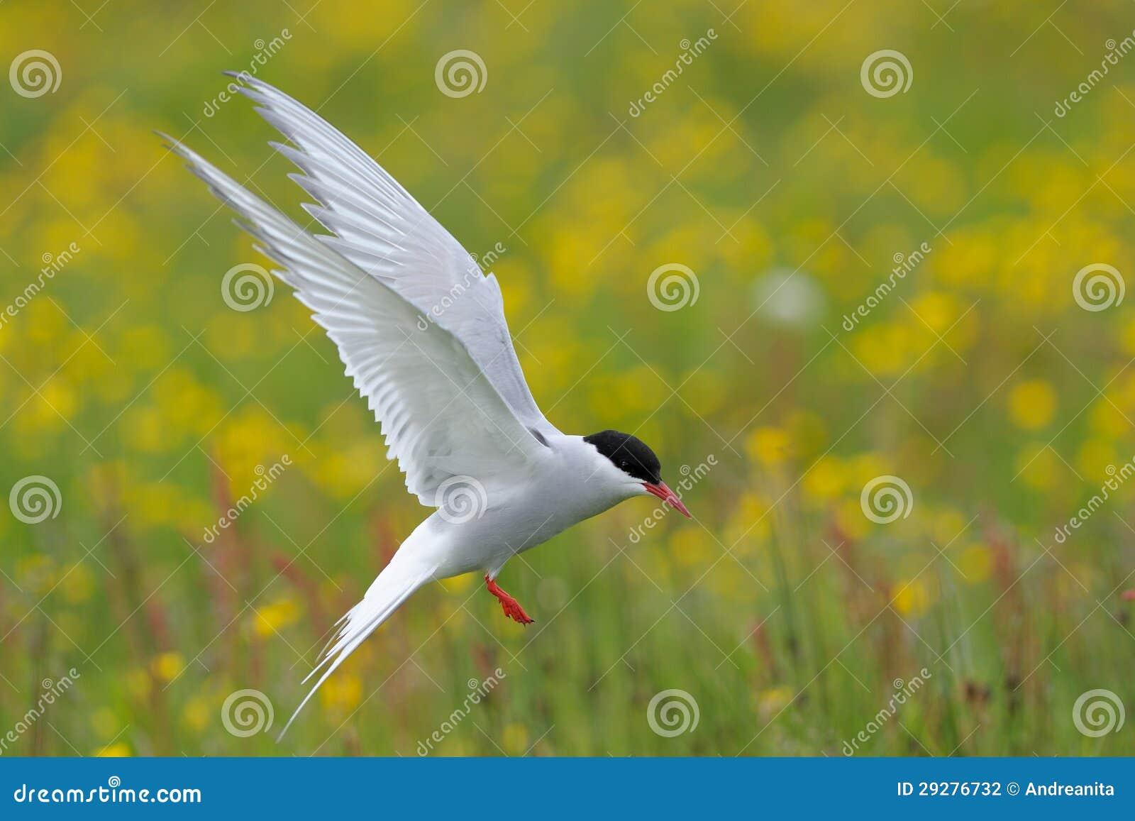 Arktyczny Tern