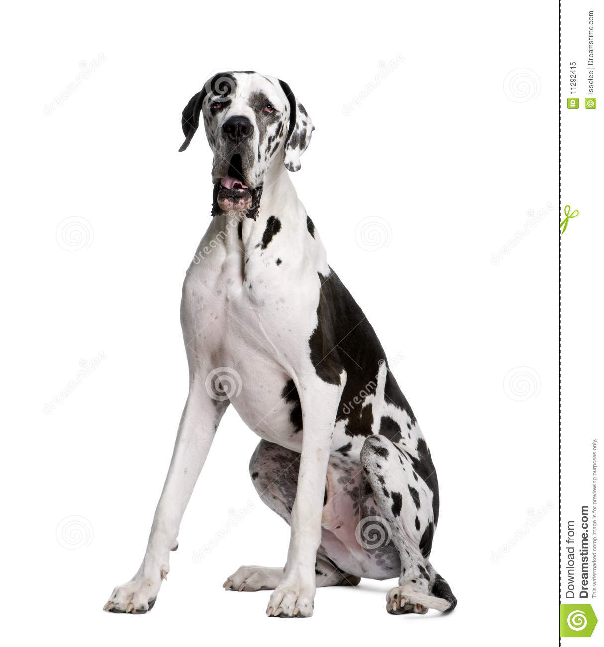Great Dane Sitting In Front Of White Background Stock