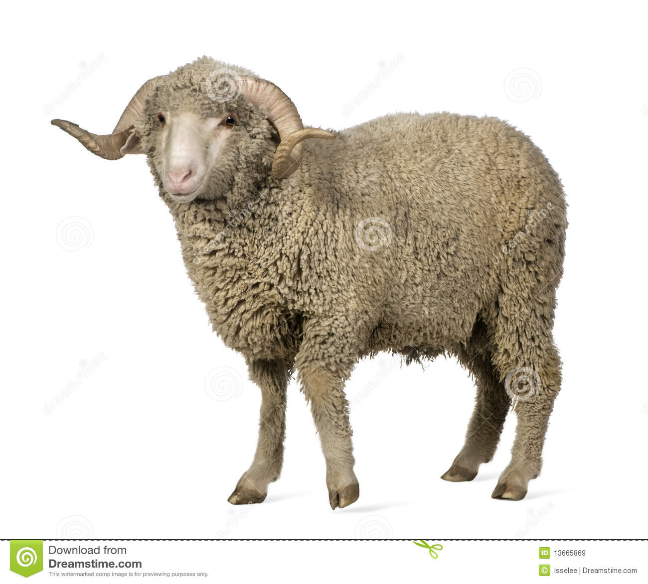 Arles Merino sheep, ram, 1 year old