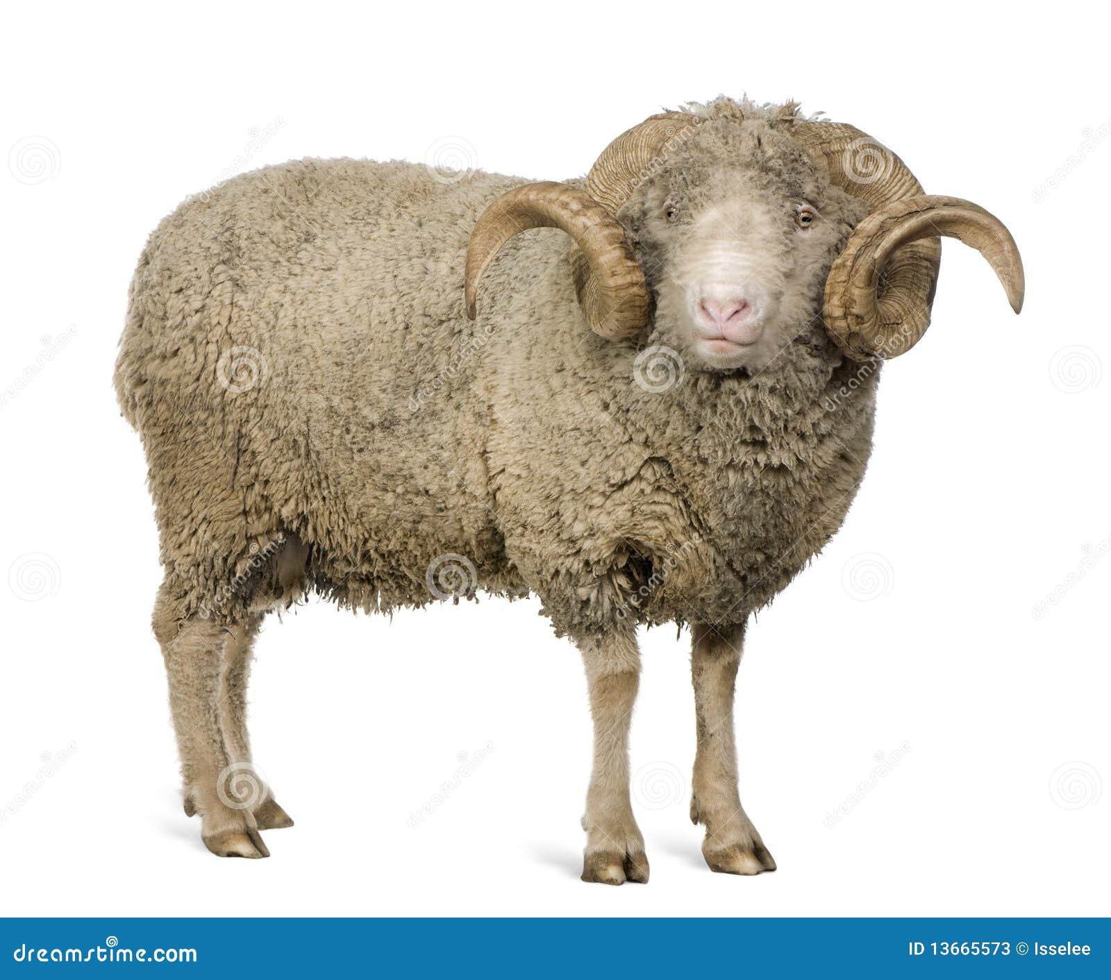 Arles Merino Sheep, Ram, 5 Years Old Stock Image