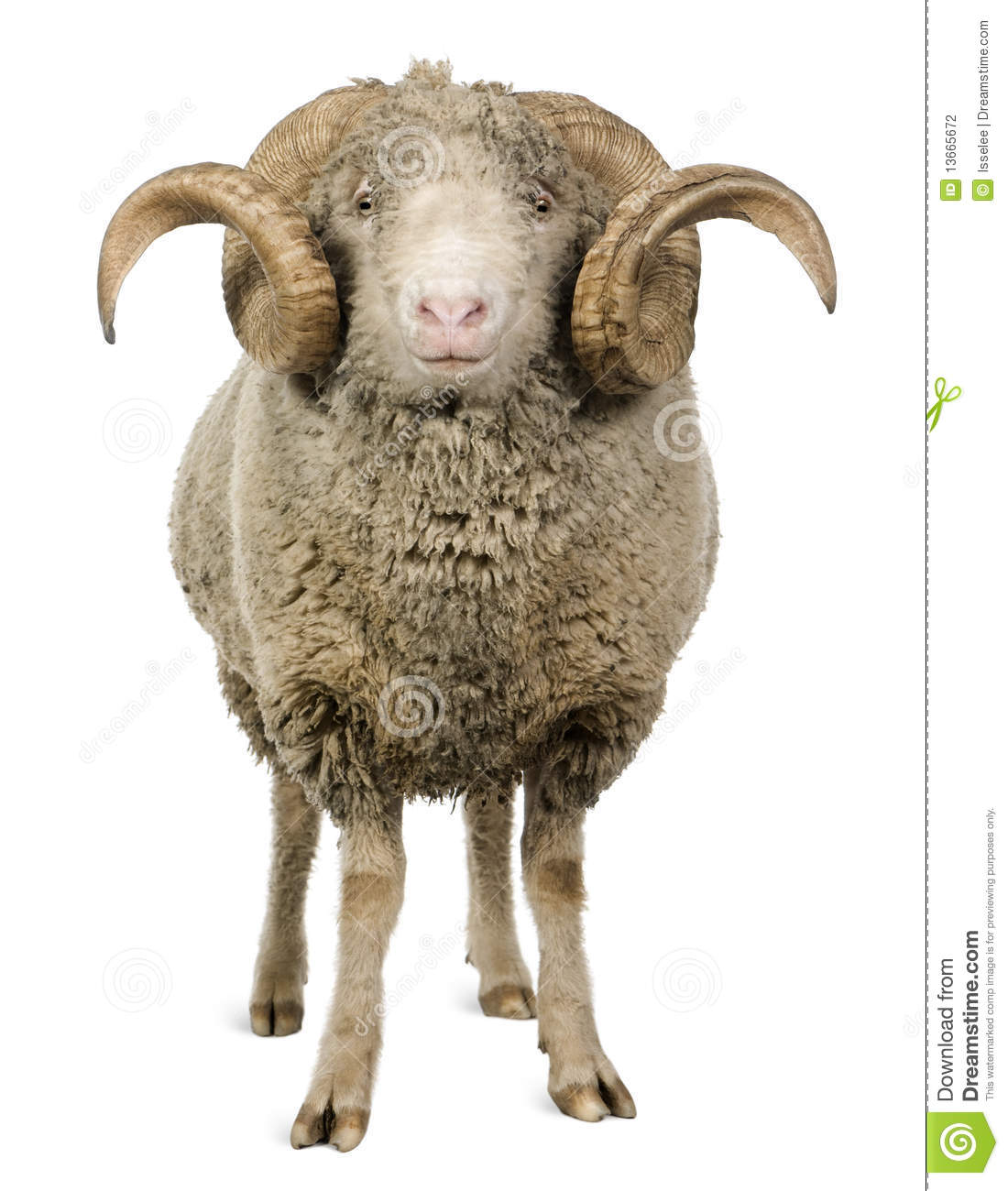 Arles Merino sheep, ram, 5 years old