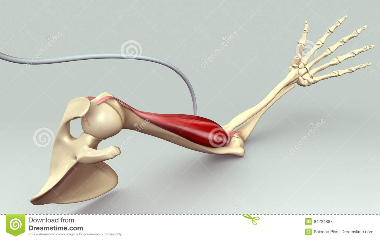 Arm Muscle stock illustration. Illustration of flex, pose - 84224887