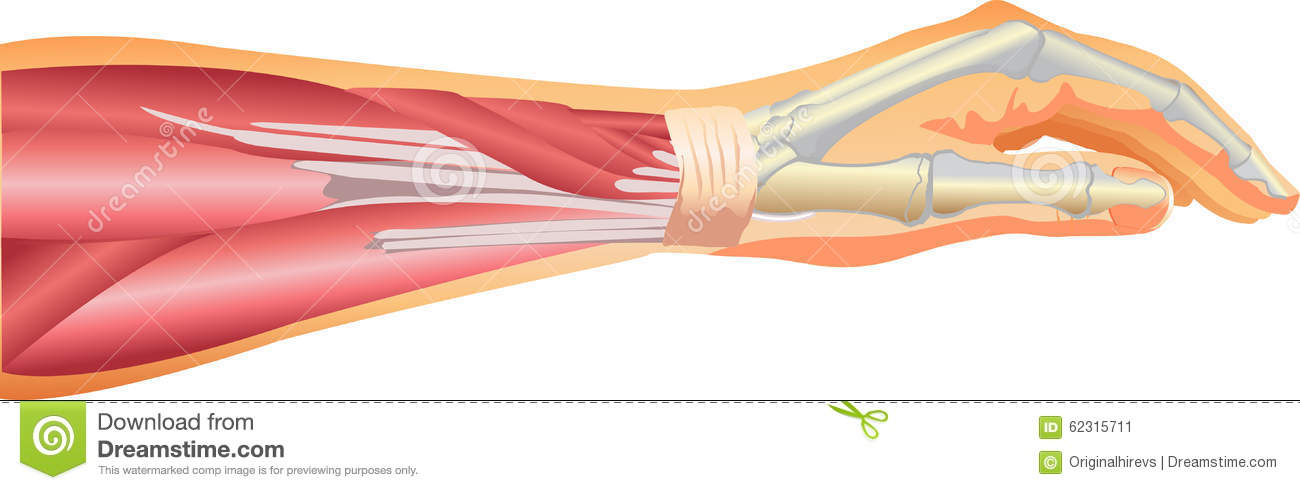 Arm Muscles Stock Vector Illustration Of Vector Muscles 62315711