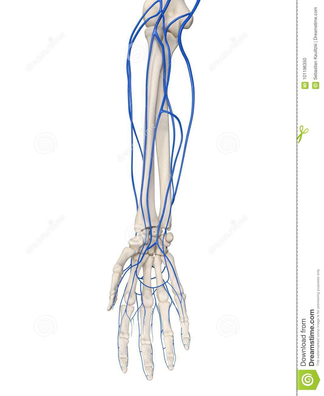 The Arm Veins Stock Illustration Illustration Of Hand 101196350