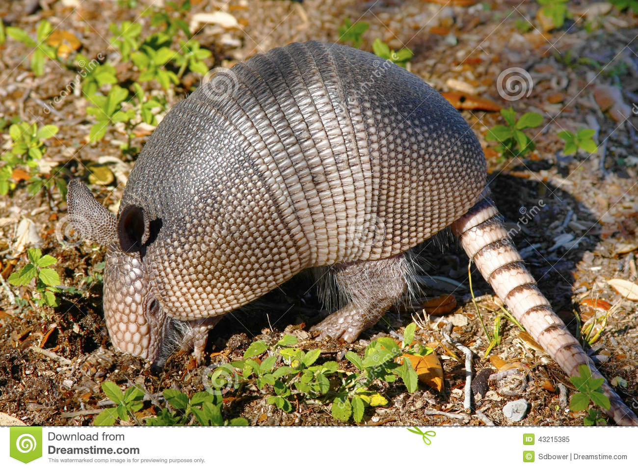 Armadillo Digging for insects
