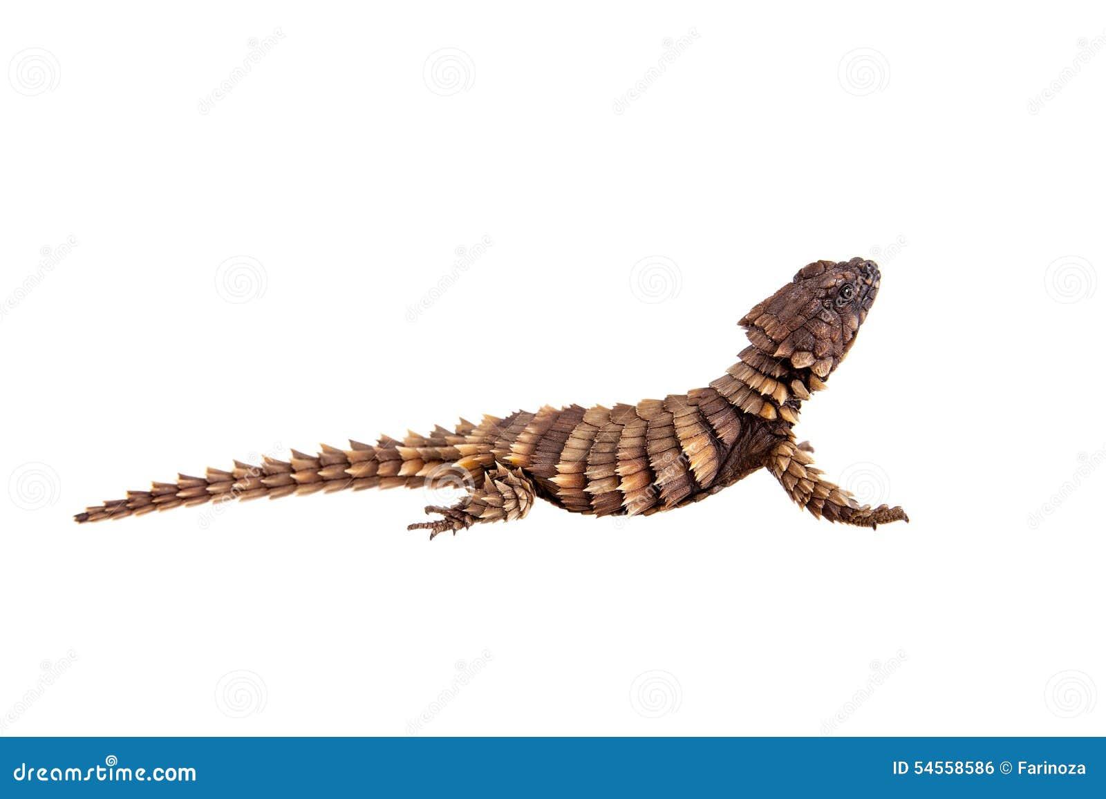 The Armadillo Girdled Lizard On White Stock Photo - Image of africa