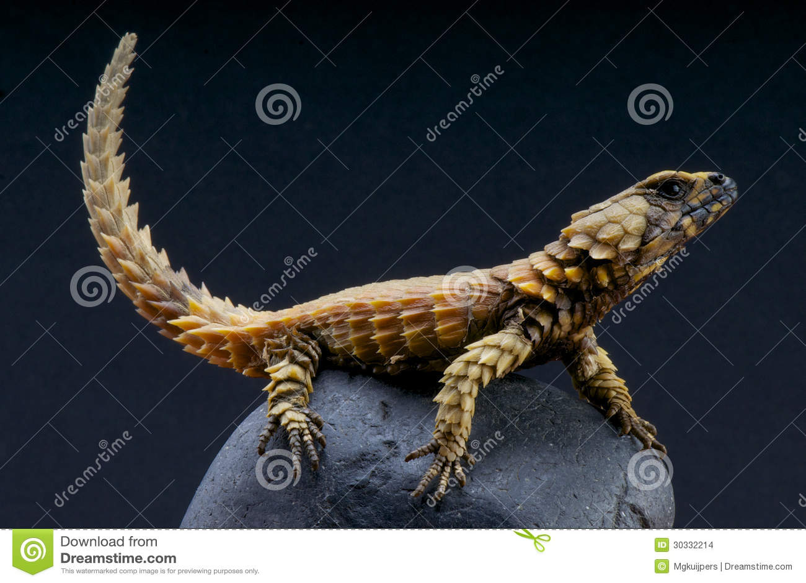 Armadillo Lizard / Cordylus Cataphractus Stock Photo ...