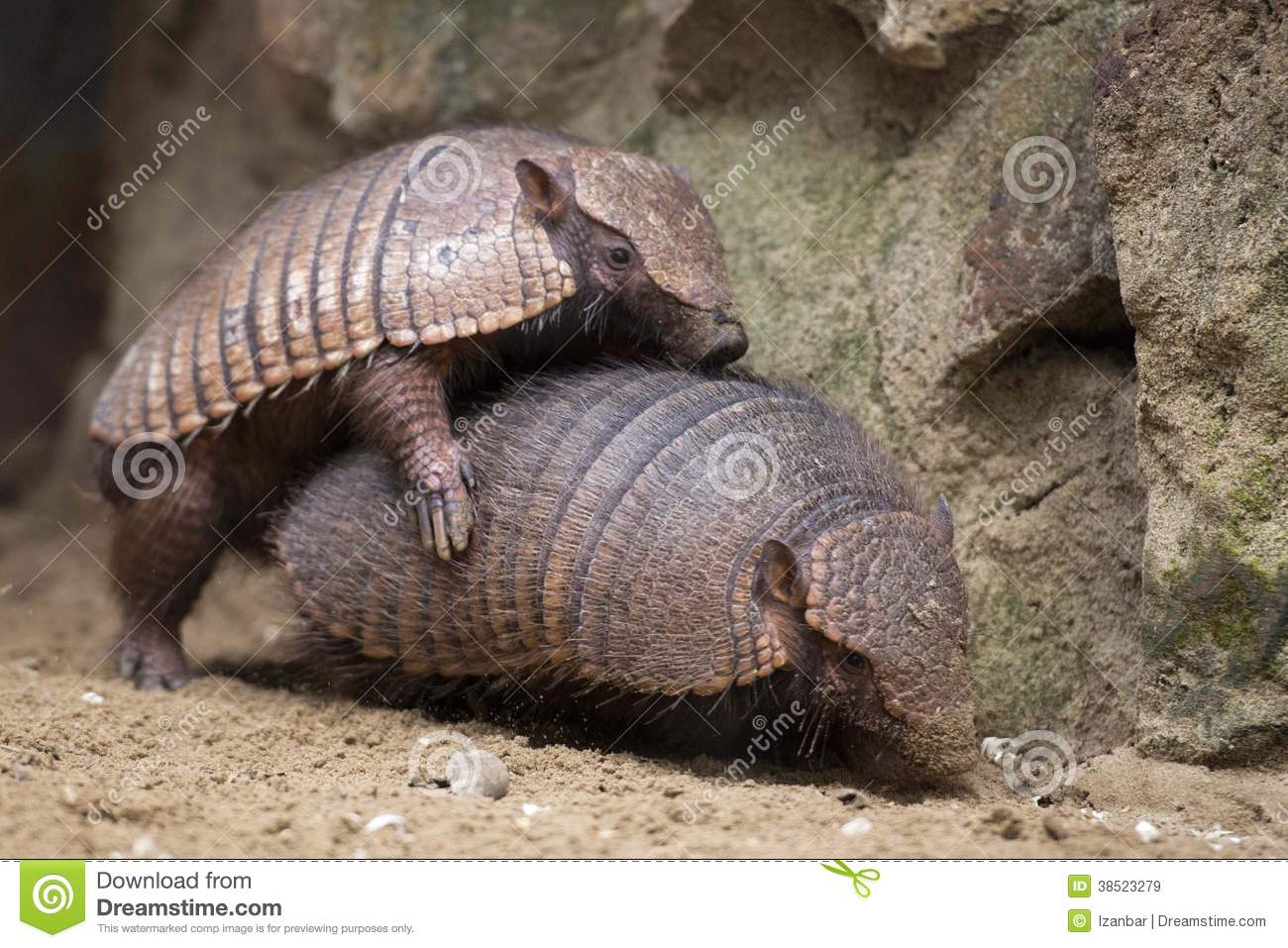 armadillo-portrait-close-up-having-sex-3