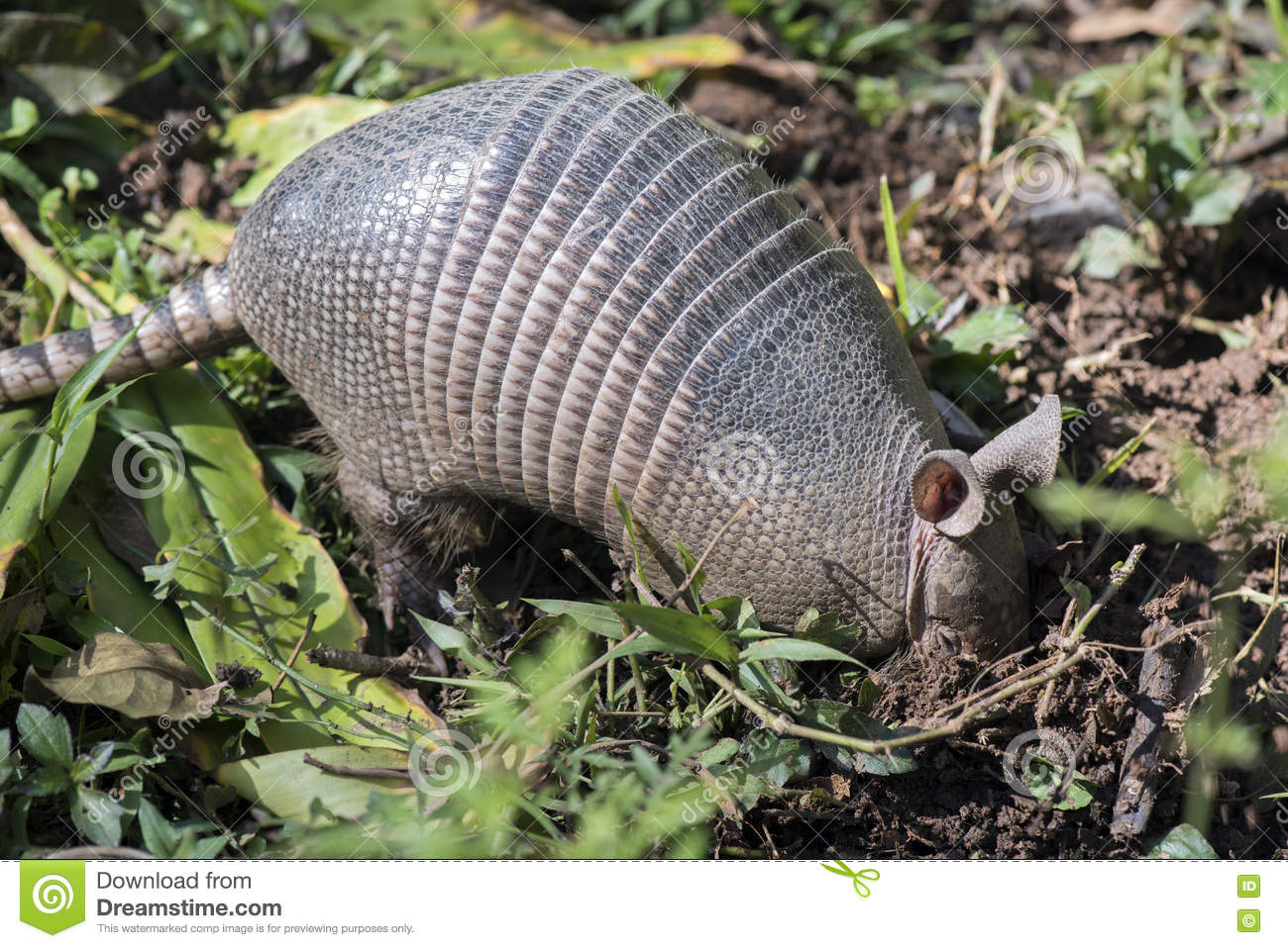 Armadillo searching for food in the field