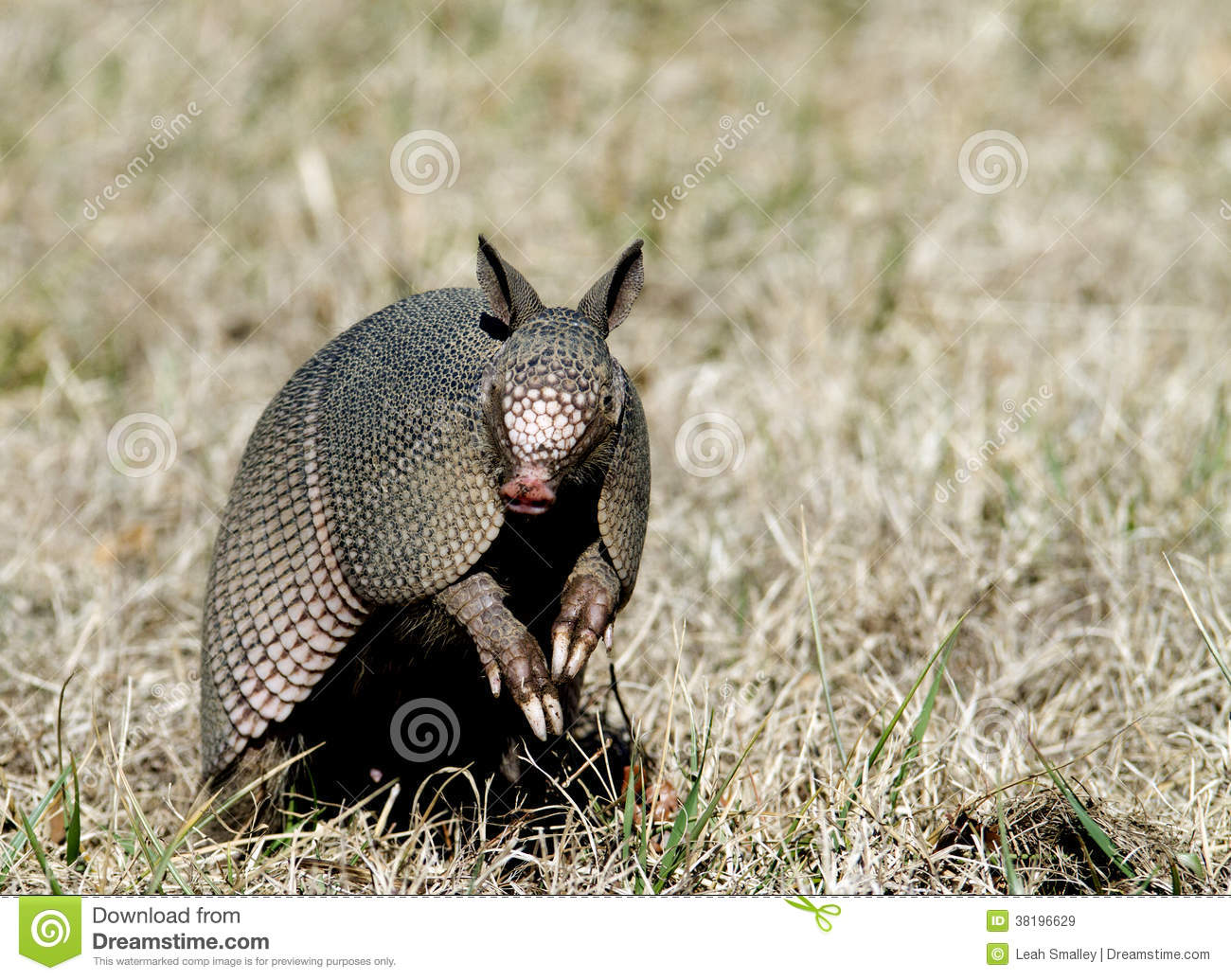 armadillo sits up in the grass stock image - image of novemcinctus