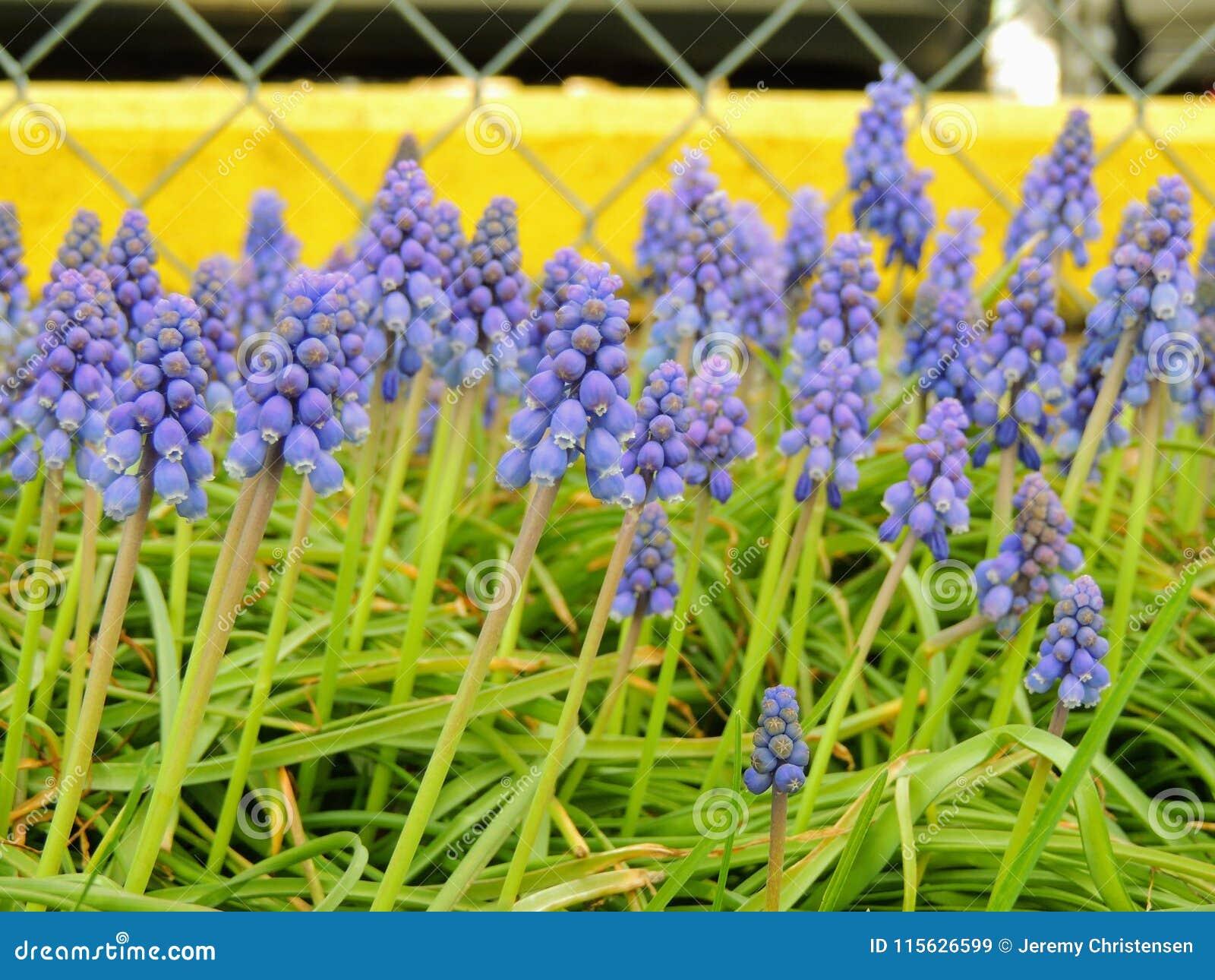 Armeniacum die van Muscari van de druivenhyacint in de vroege lente bloeien De macro van blauwe Muscari-bloemweide met gele rand