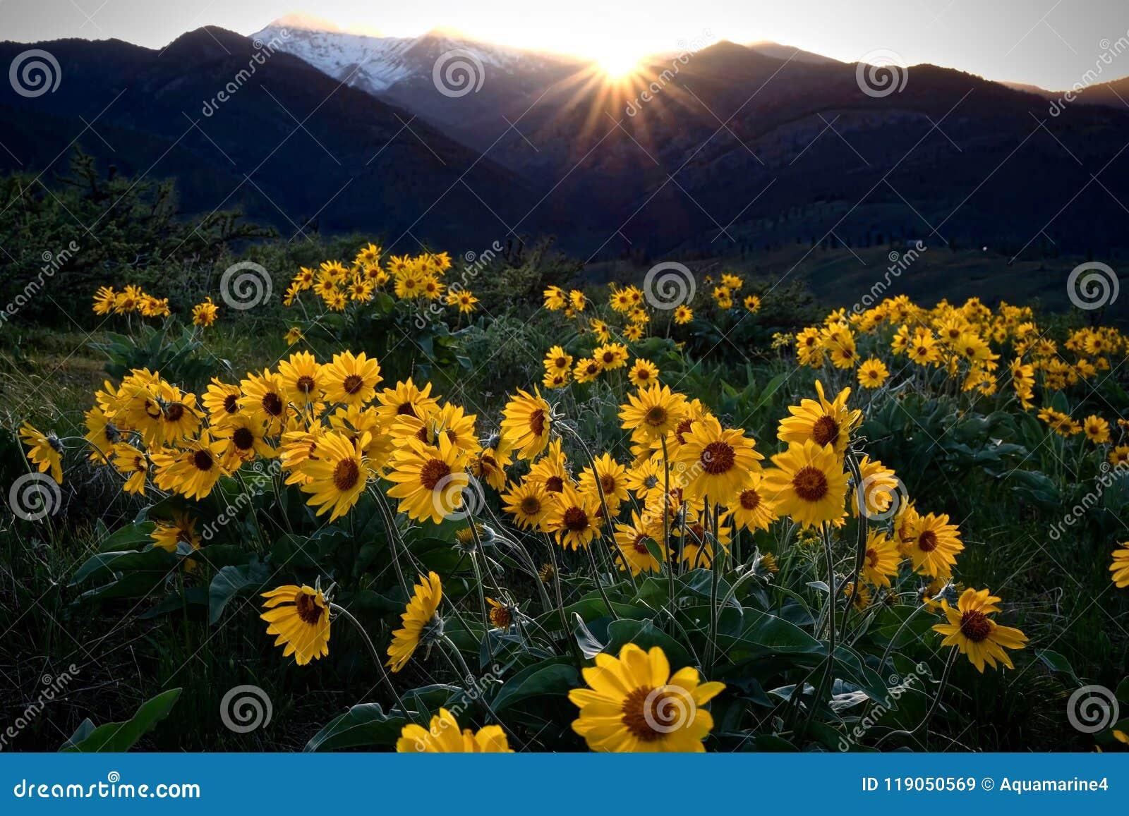 Arnica meadows at sunrise beautiful sunflowers in the morning download arnica meadows at sunrise beautiful sunflowers in the morning stock image image izmirmasajfo