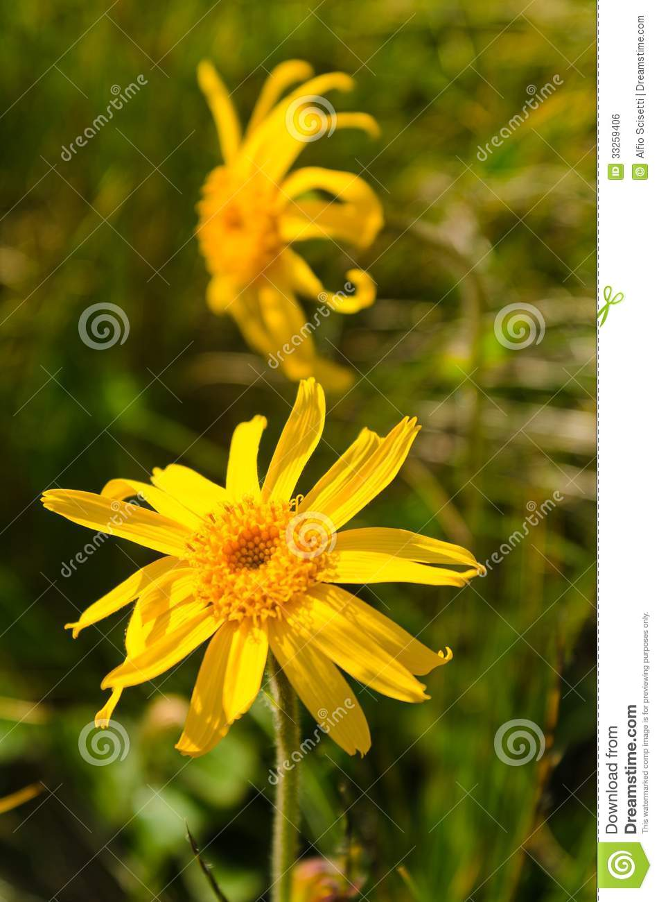 Arnica Montana Stock Photo Image Of Beautiful Alpina 33259406