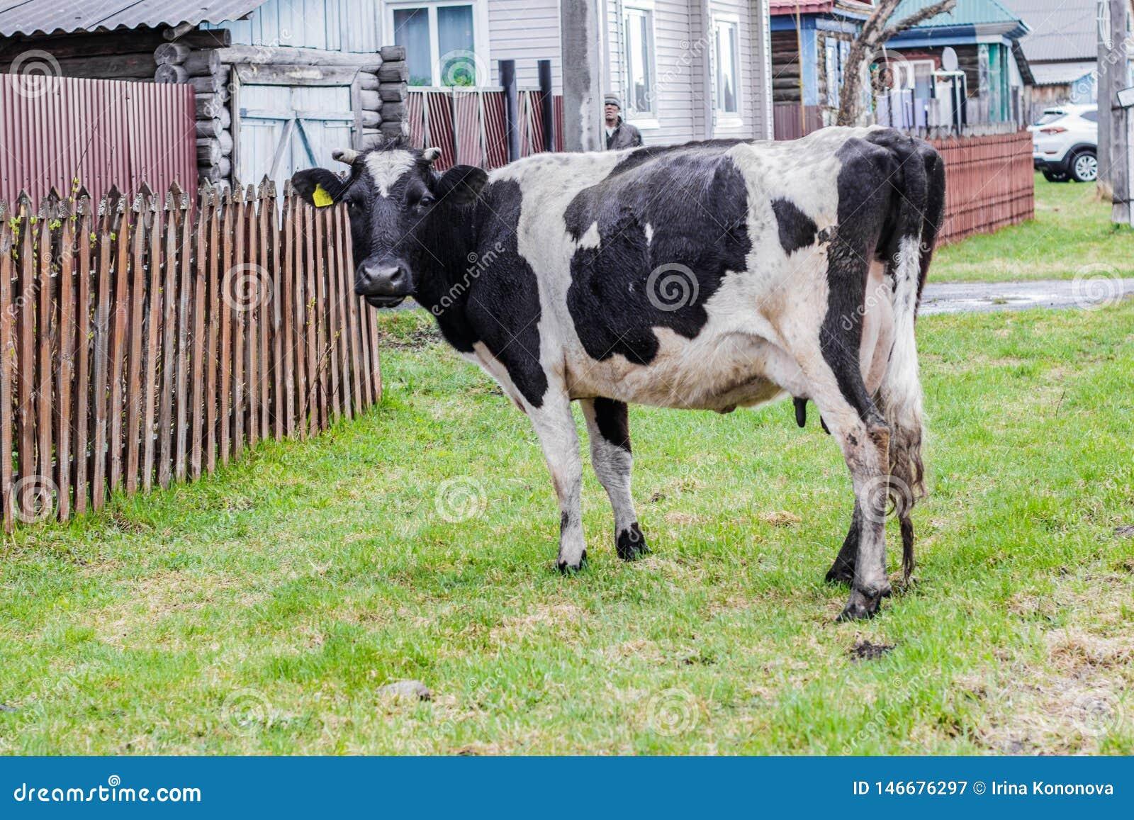 Aromashevsky Rosja 23 2018 Maj Czarny i biały krowa na wioski ulicie