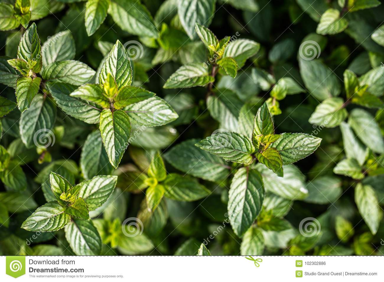 Aromatic Chocolate Mint Plants For Botanic Wallpaper Top View