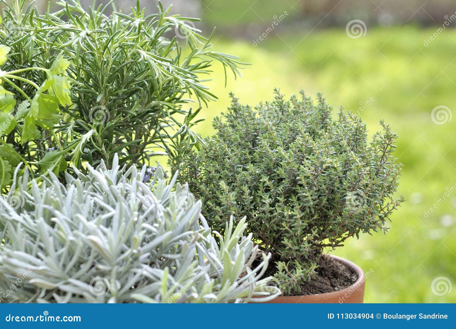 Aromaticherb en conserva en un jardín
