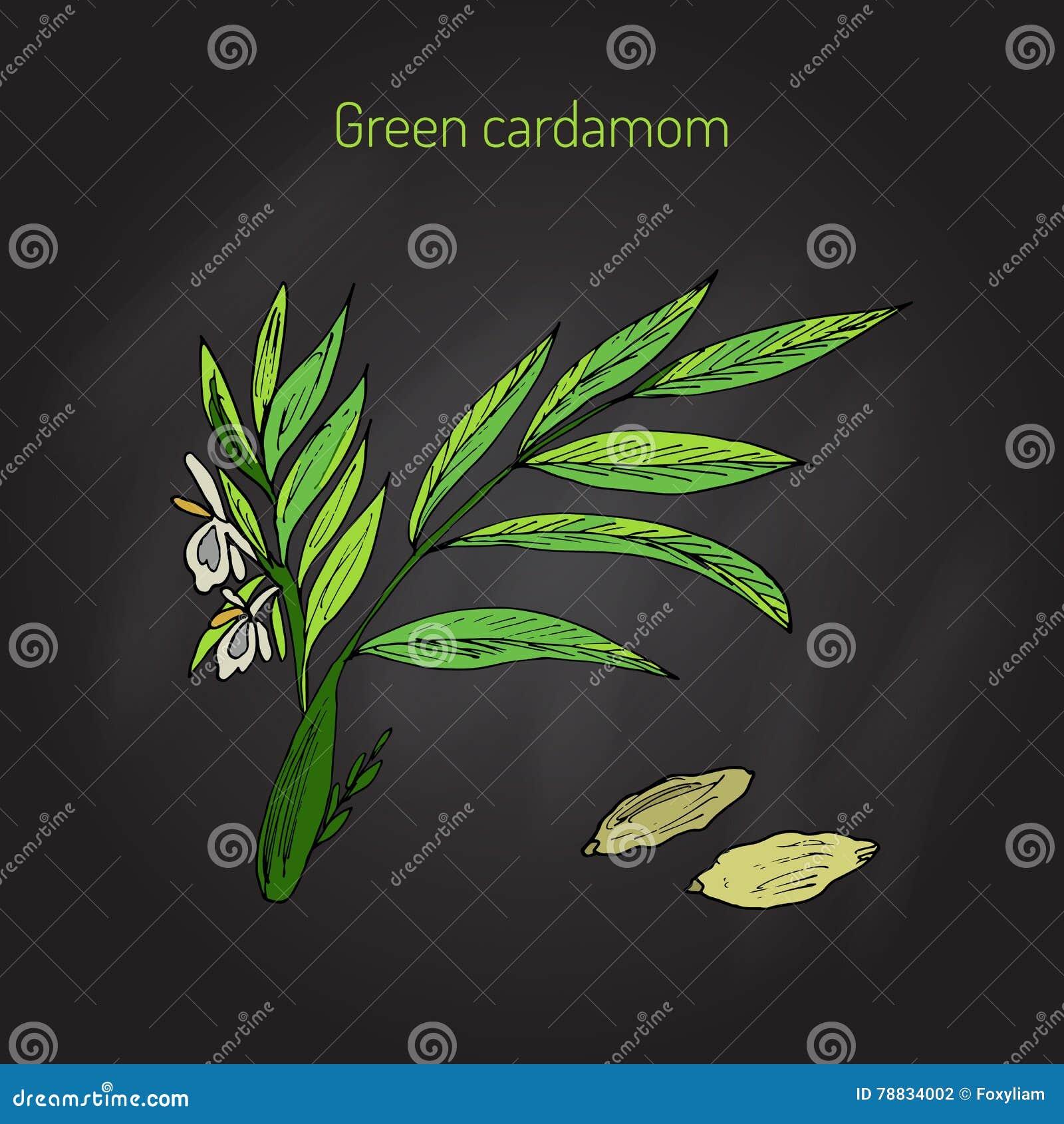 Aromatycznej rośliny zielony lub prawdziwy kardamon
