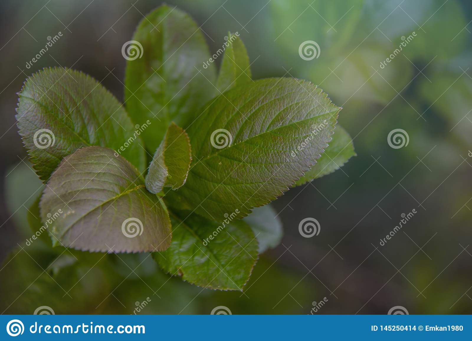 Aronia - μαύρο Chokeberry με τα όμορφα ζωηρόχρωμα φύλλα