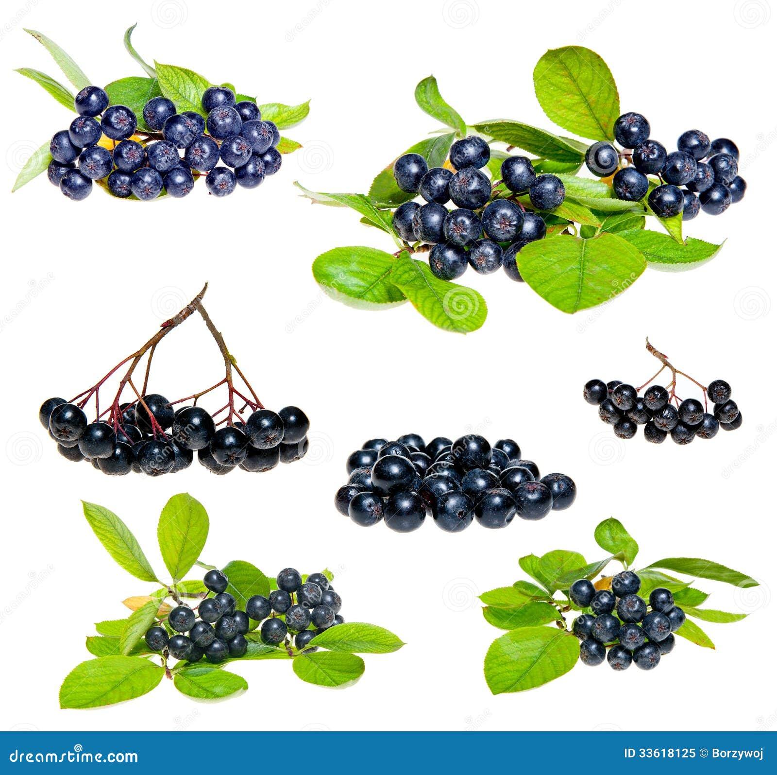 Aronia - Black Choke berry