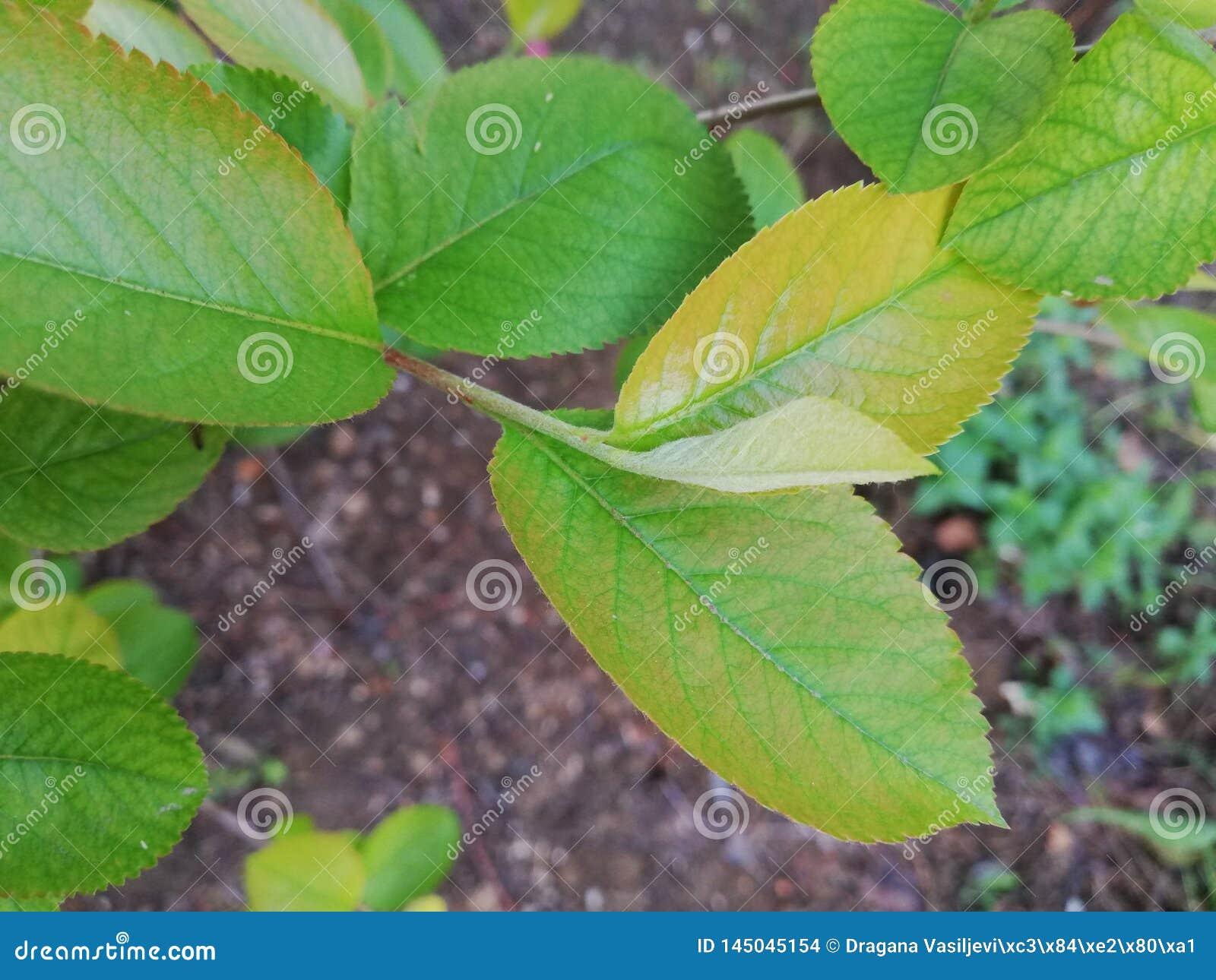 Aronia leaves
