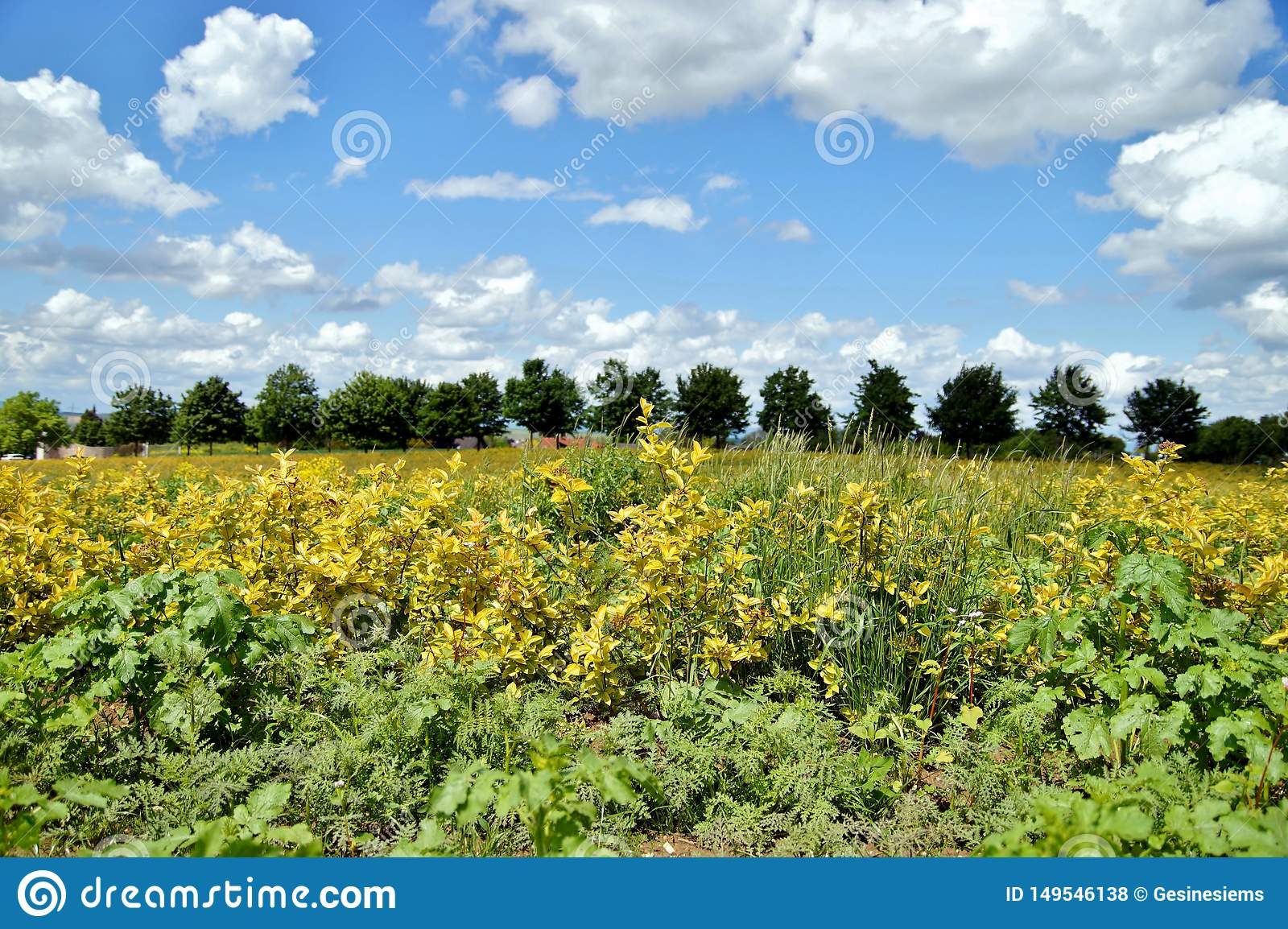 Aronia plantation in golden colour and a line up of trees with blue sky backgrounds with clouds in beautiful rhineland palatinate.