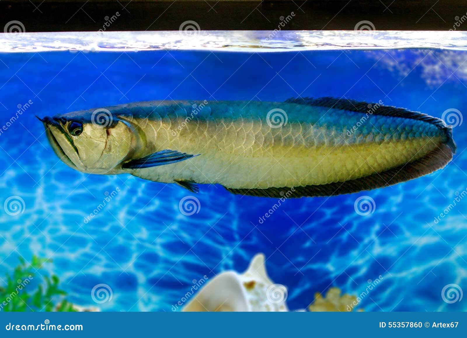 Freshwater fish for aquarium pictures - Arovana Tropical Freshwater Fish In The Aquarium