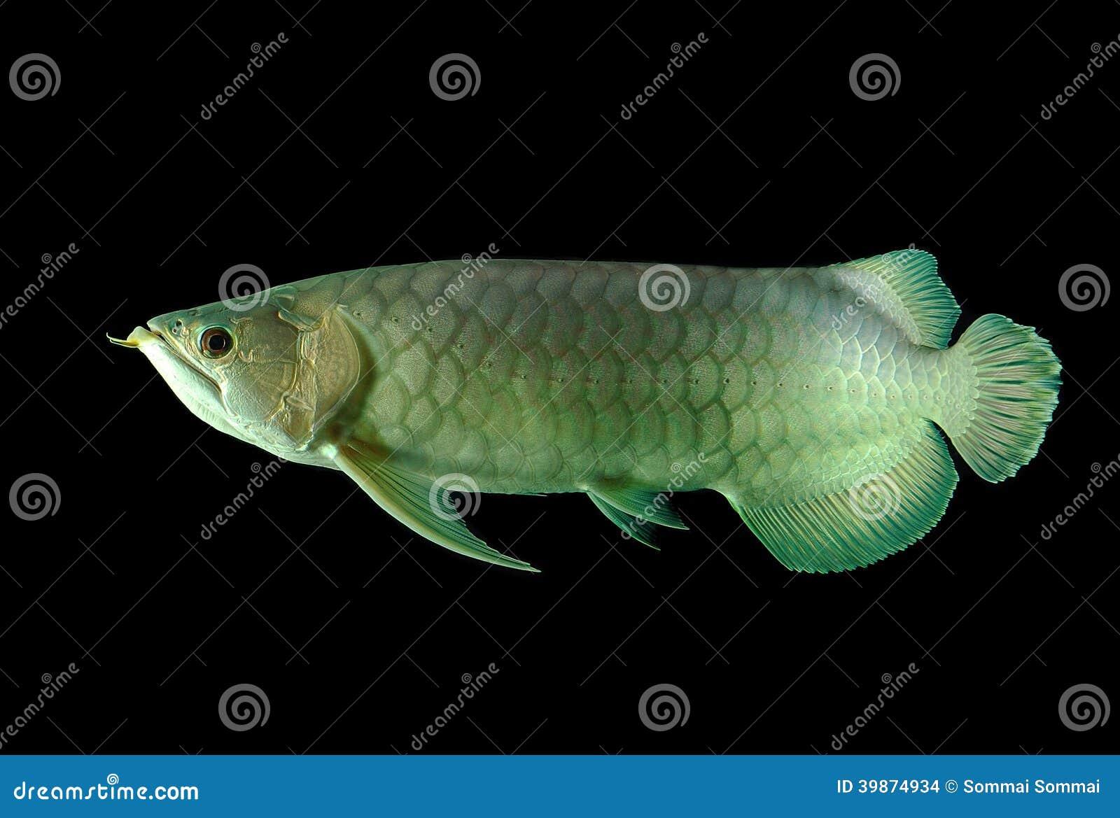 Arowana fish stock photo. Image of swimming, beauty, color - 39874934