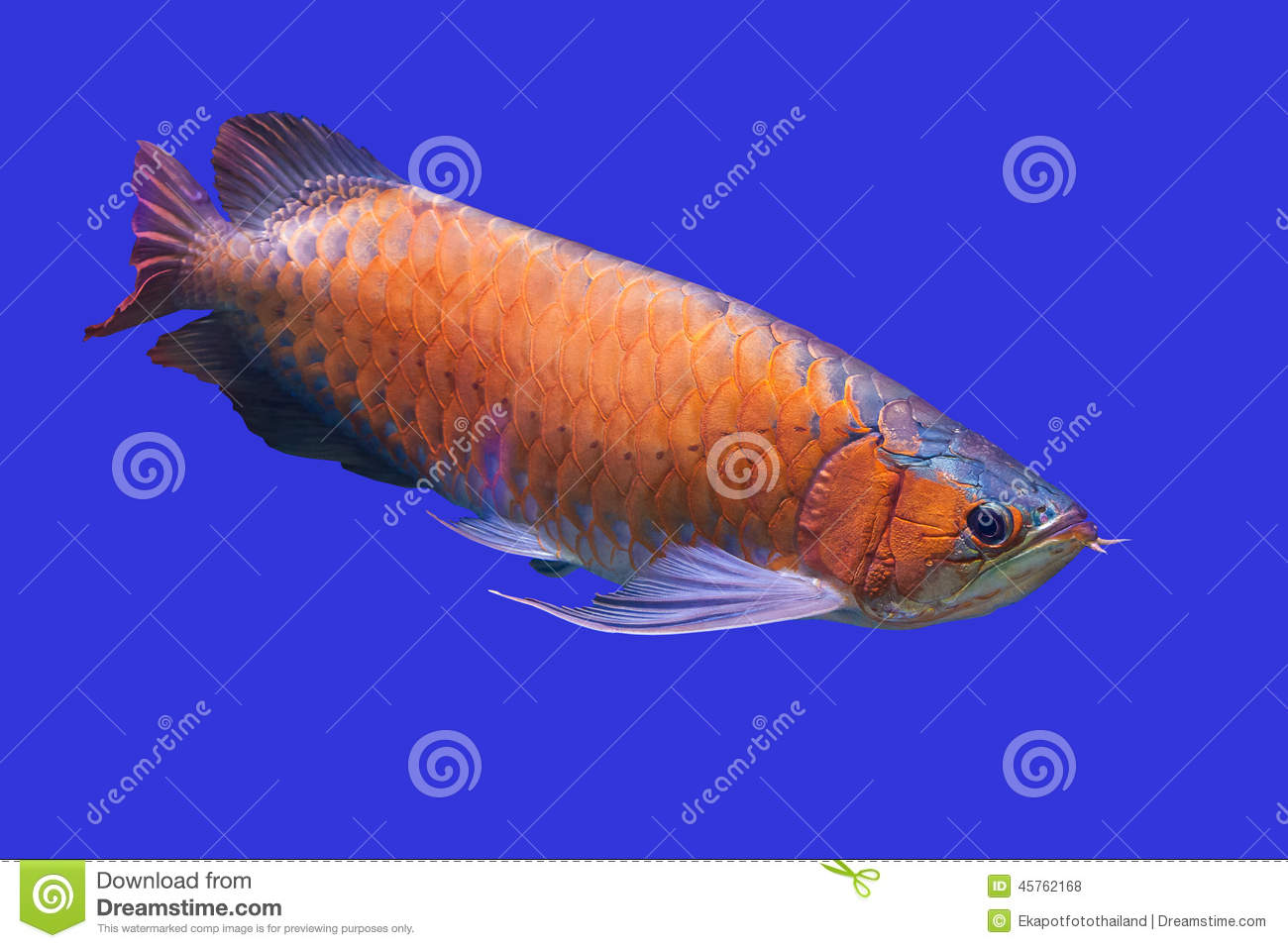 Arowana Fish with blue...