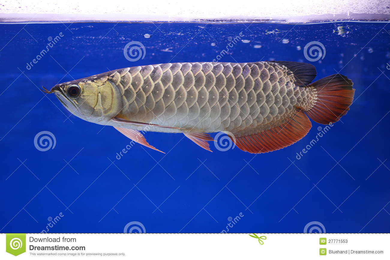 Arowana fish pet stock photos image 27771553 for Fish and pets unlimited