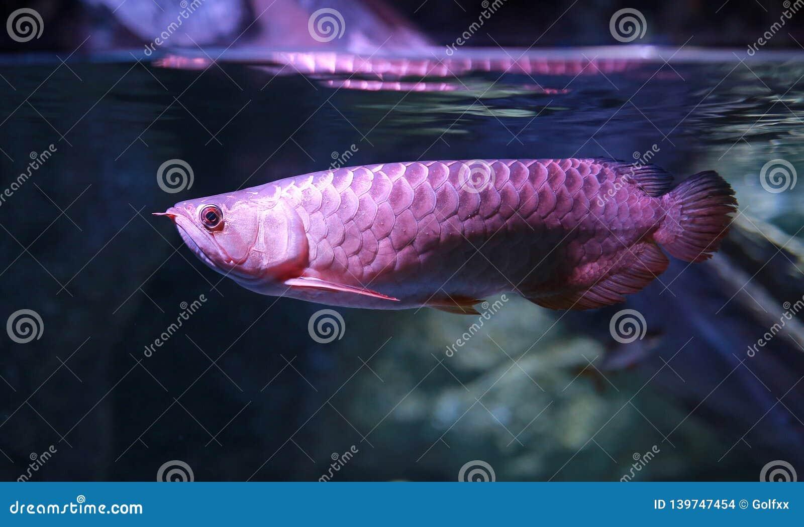 Arowana Fish Swiming In Water At Aquarium Stock Photo ...