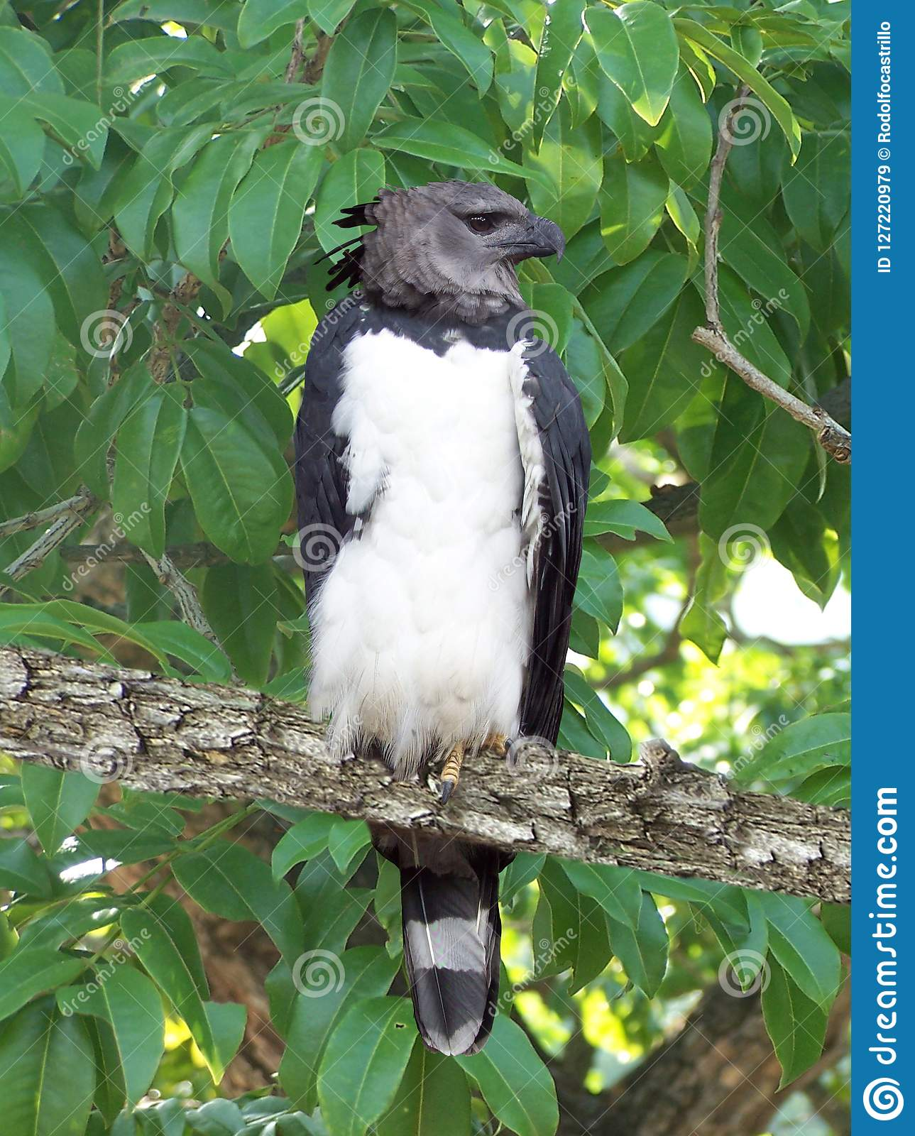 the arpia eagle is one of the largest of its kind stock image