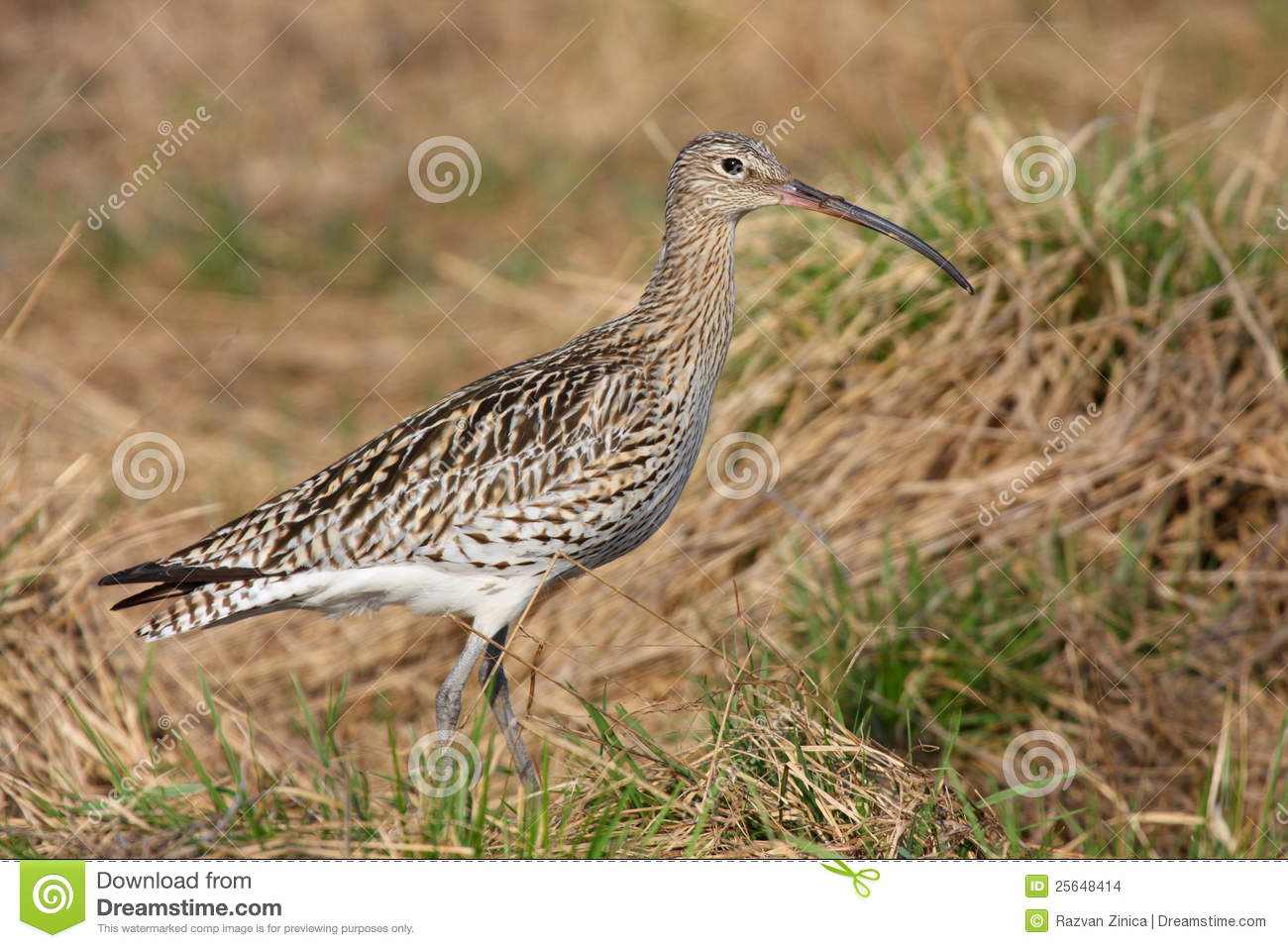 Arquata curlew numenius