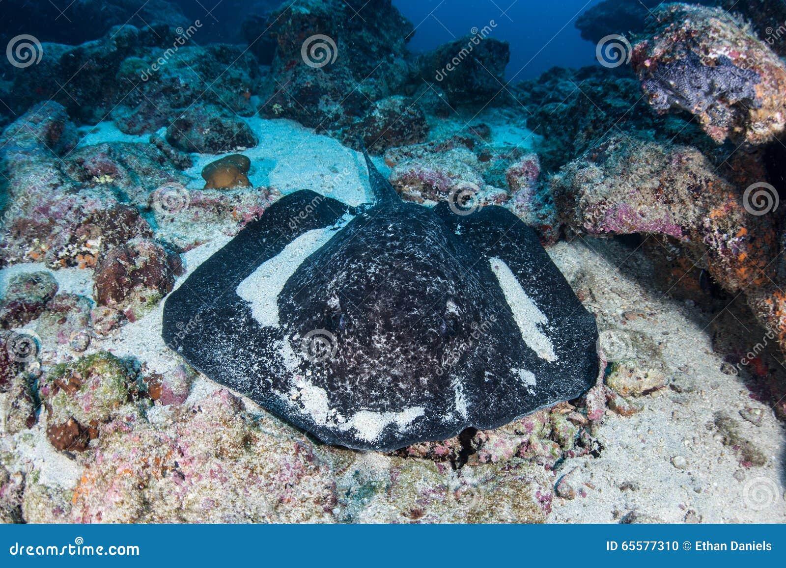 Arraia-lixa preta-Blotched no Seafloor